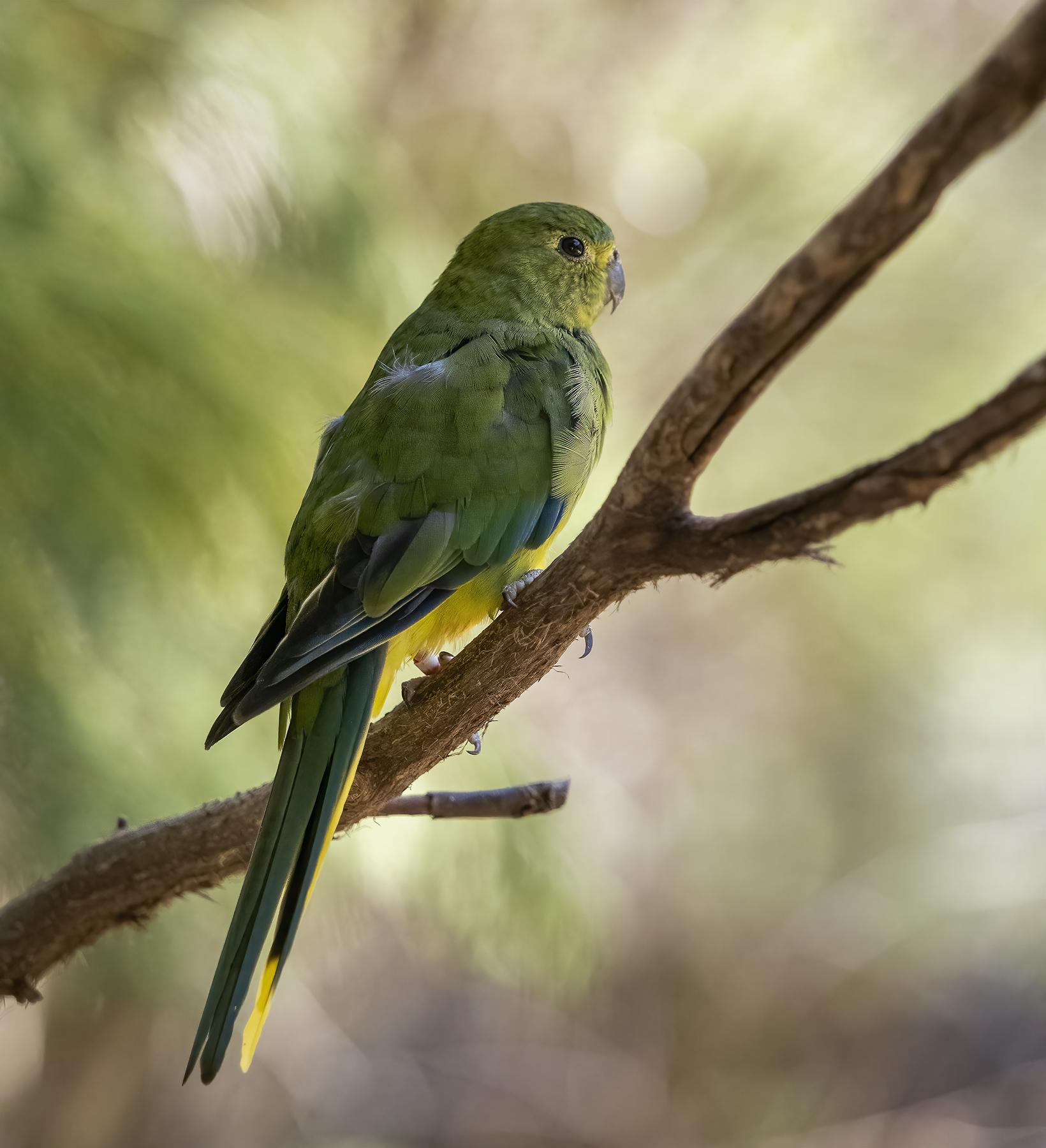 Orange-bellied Parrot (Image ID 45259)