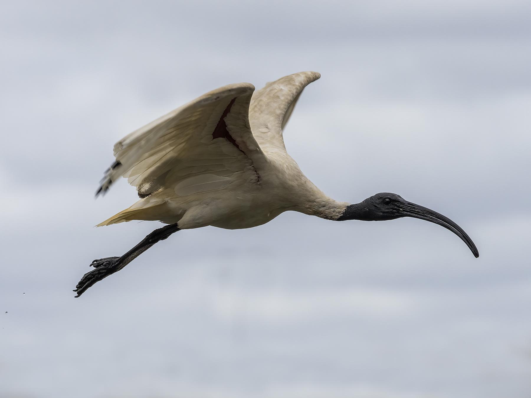 Australian White Ibis (Image ID 45410)