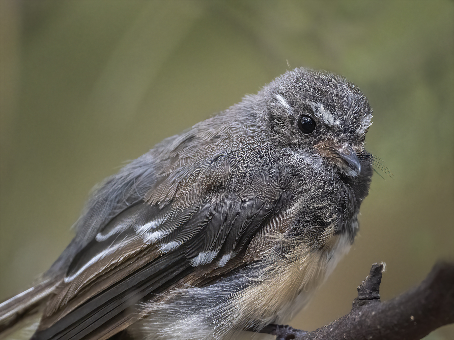 Grey Fantail (Image ID 45333)
