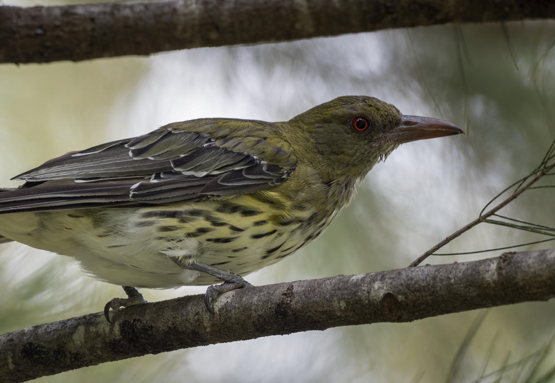 Olive-backed Oriole (Image ID 45335)