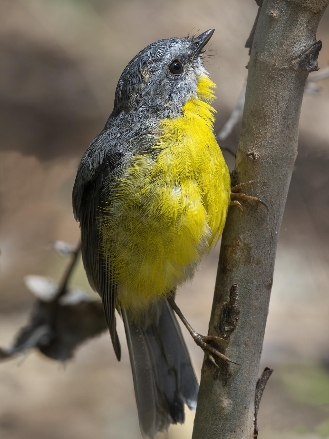 Eastern Yellow Robin (Image ID 45407)