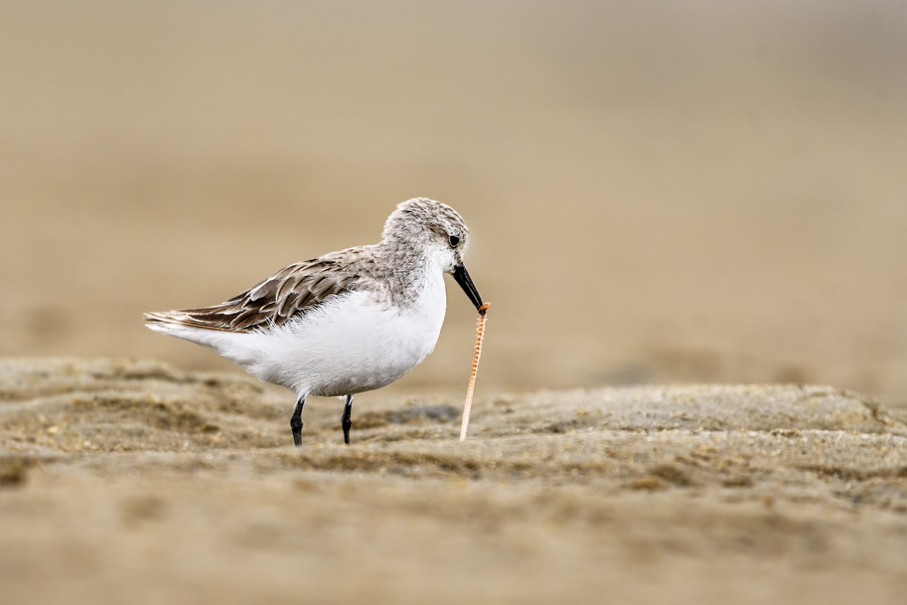 Red-necked Stint (Image ID 45226)