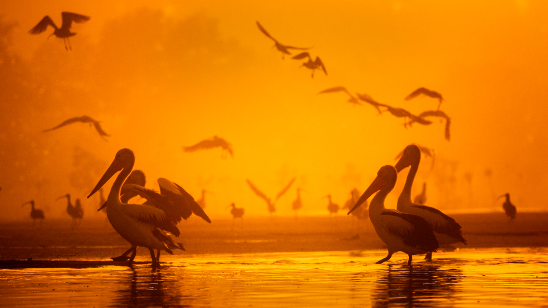 Australian Pelican (Image ID 45289)