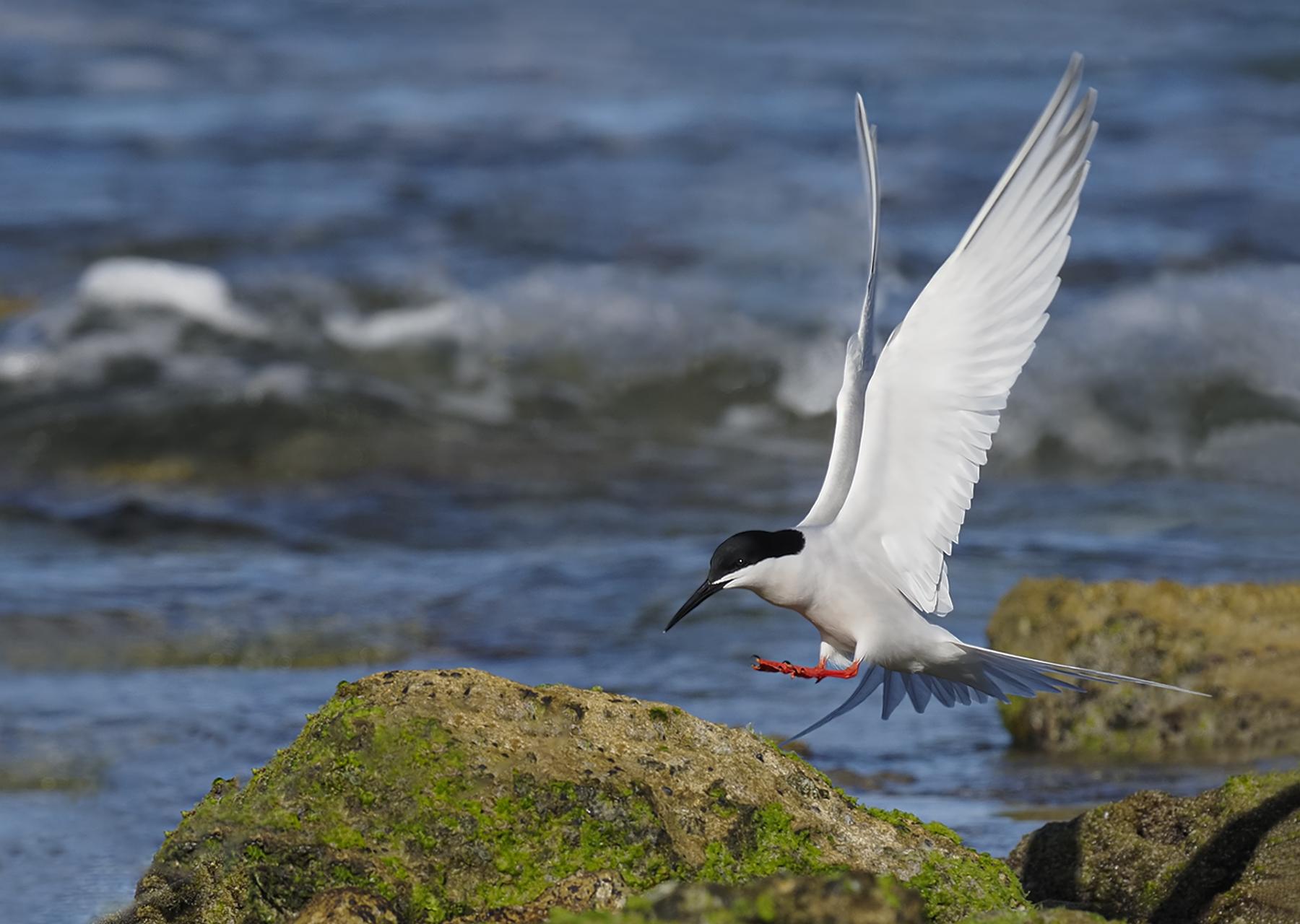 Roseate Tern (Image ID 45282)
