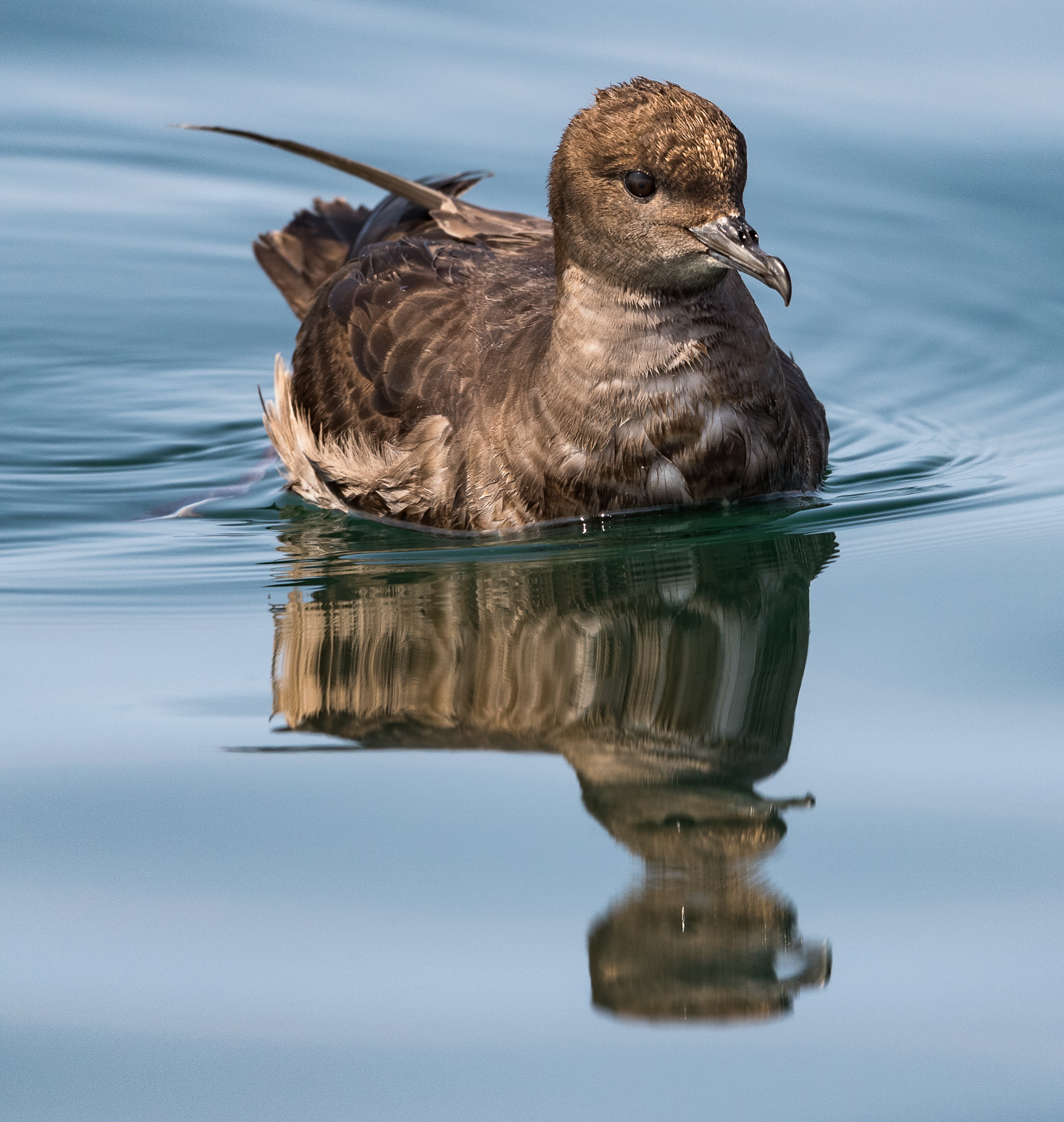 Short-tailed Shearwater (Image ID 45194)