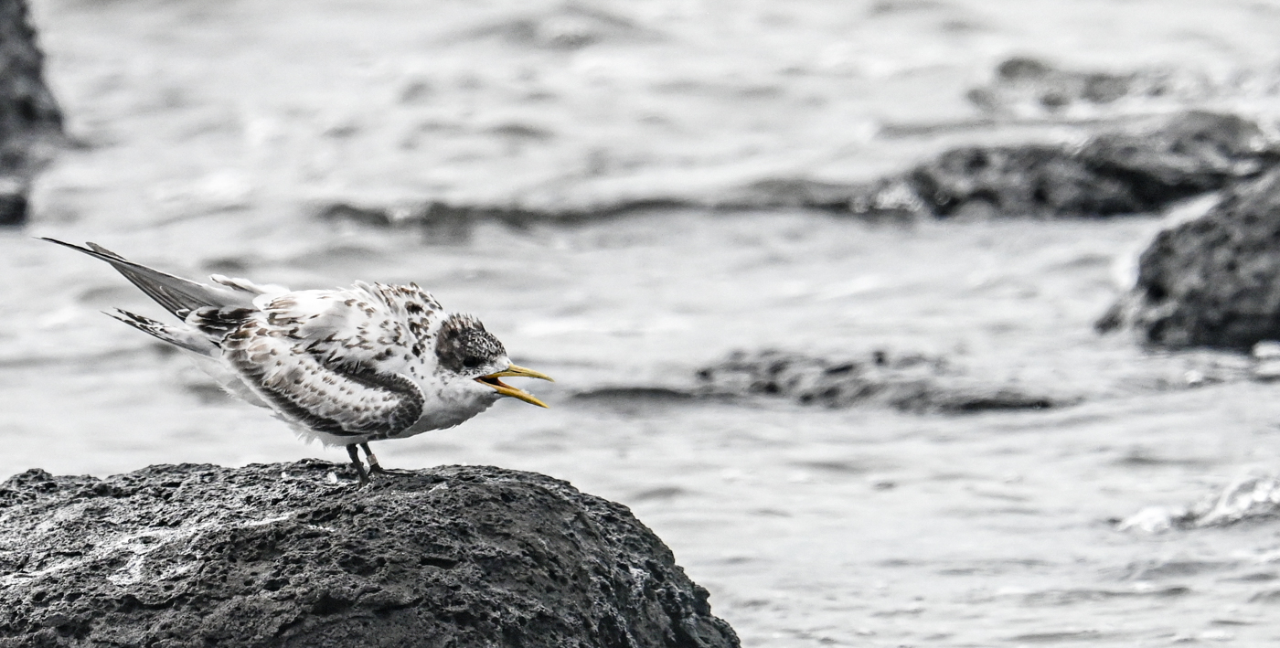 Greater Crested Tern (Image ID 45219)