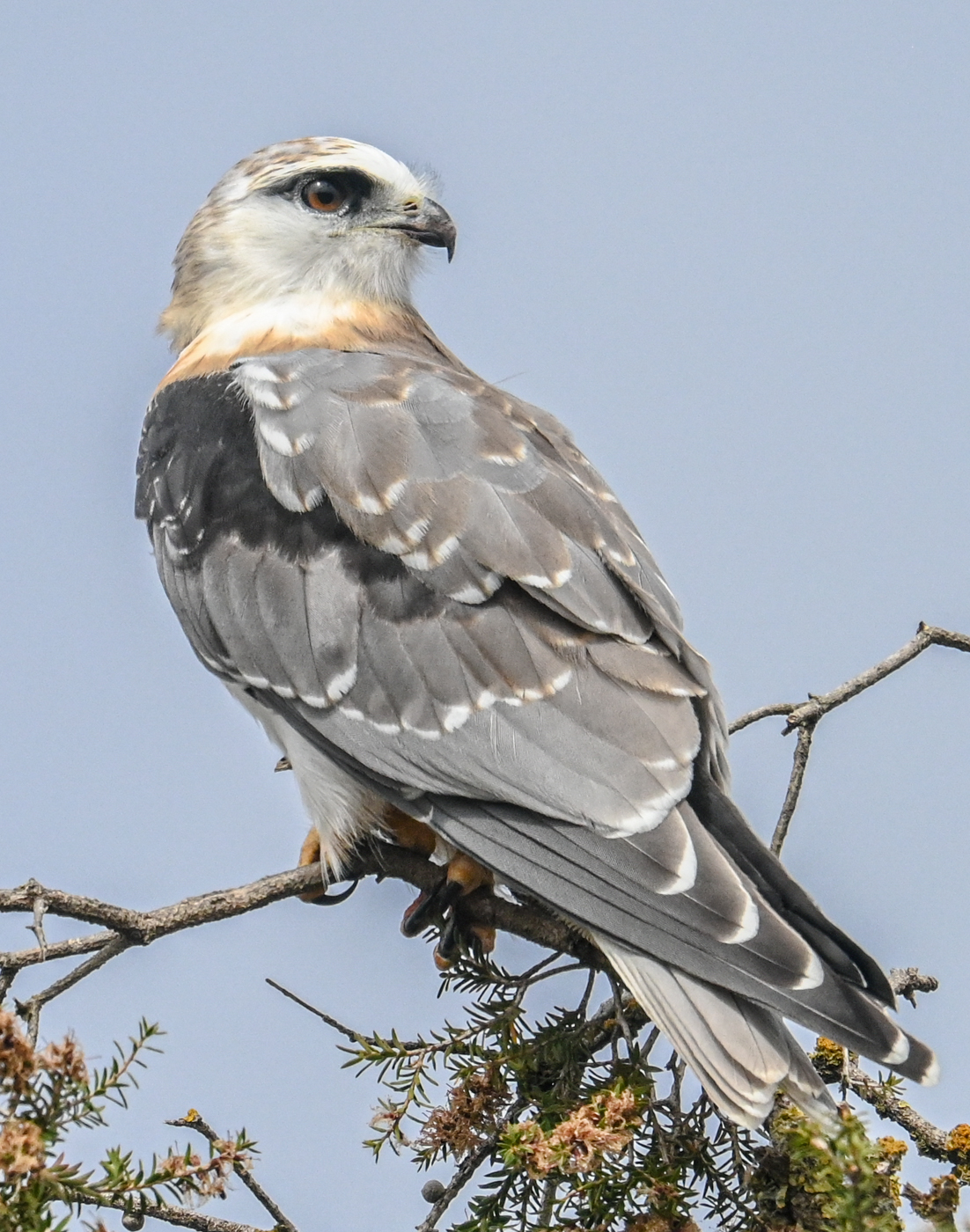 Black-shouldered Kite (Image ID 45366)
