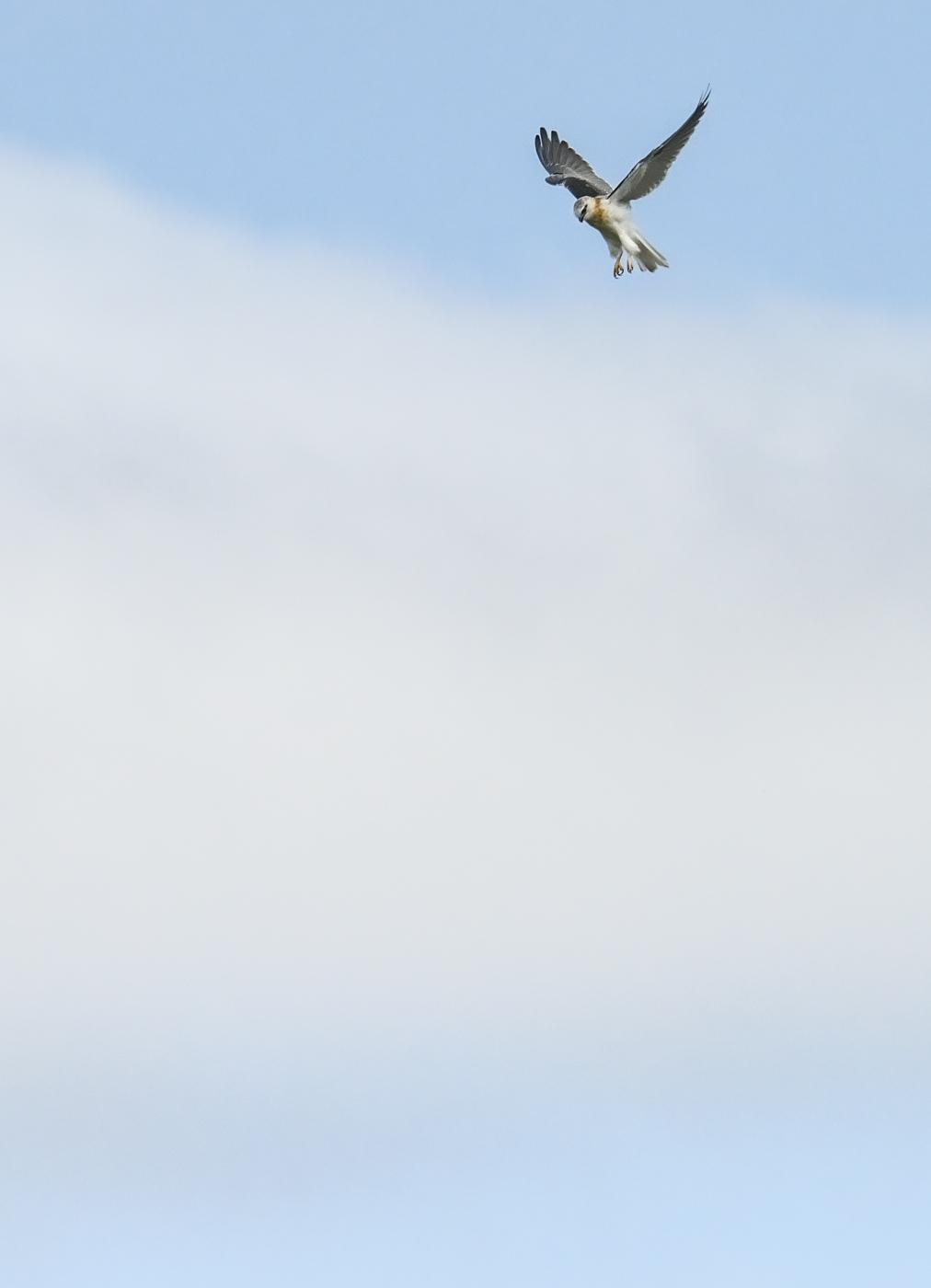 Black-shouldered Kite (Image ID 45368)