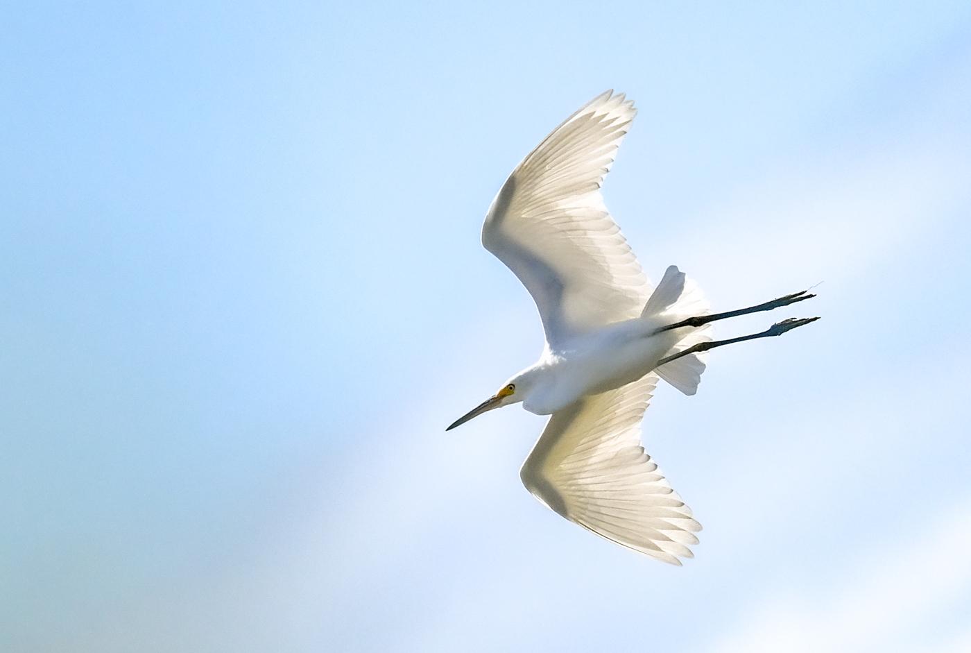 Little Egret (Image ID 45541)