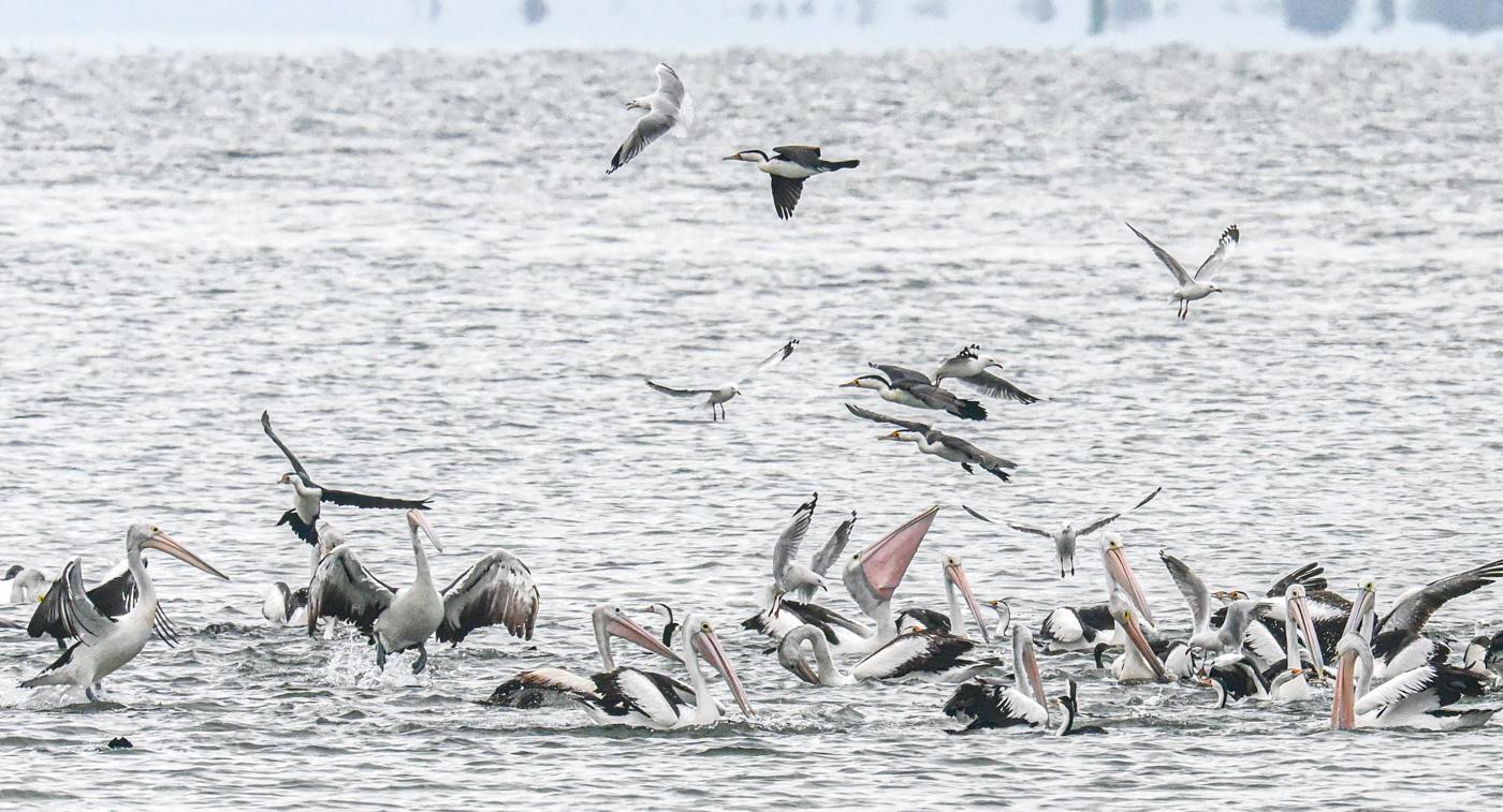 Australian Pelican, Great Pied Cormorant, Little Black Cormorant, Silver Gull (Image ID 45148)