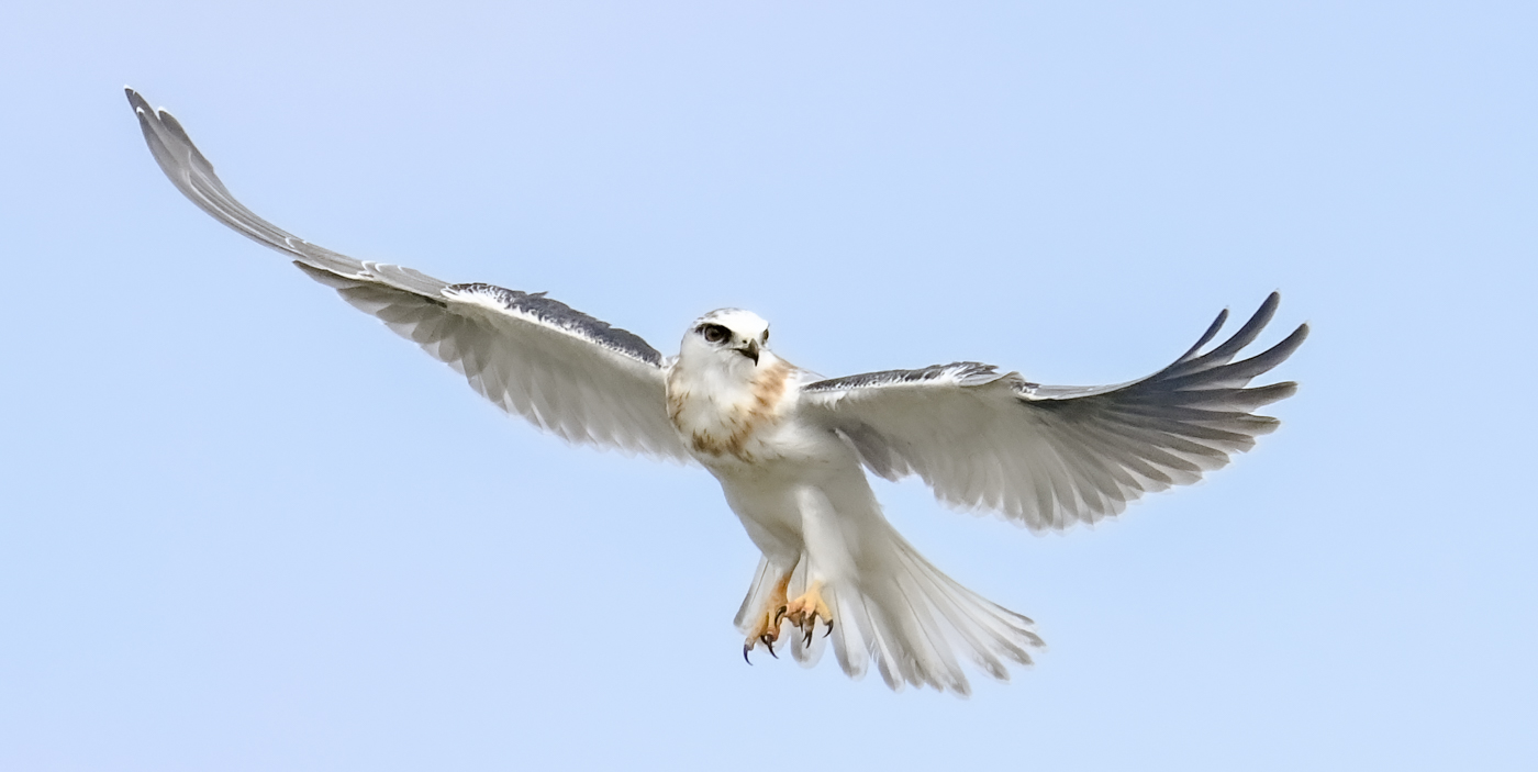 Black-shouldered Kite (Image ID 45367)