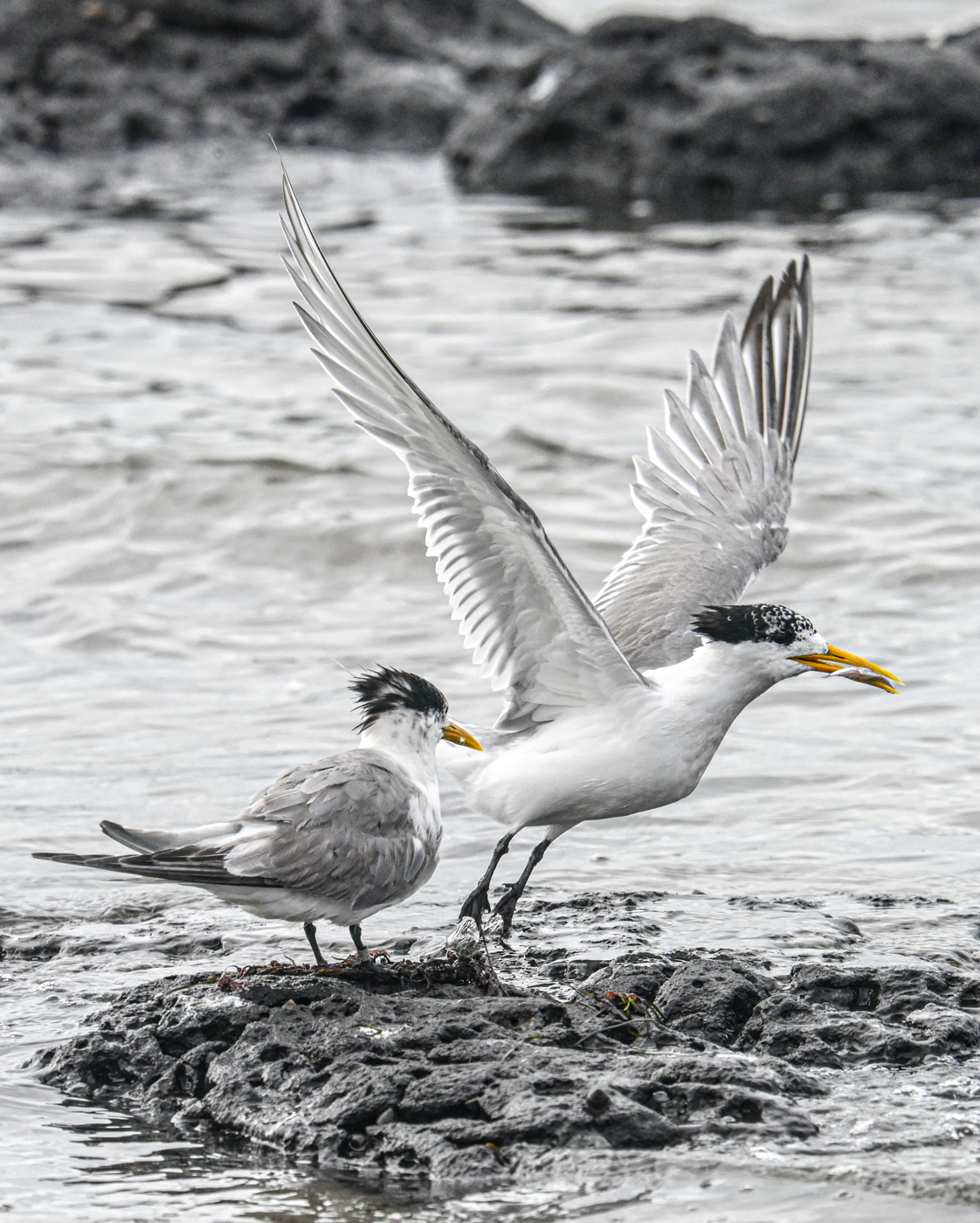 Greater Crested Tern (Image ID 45142)