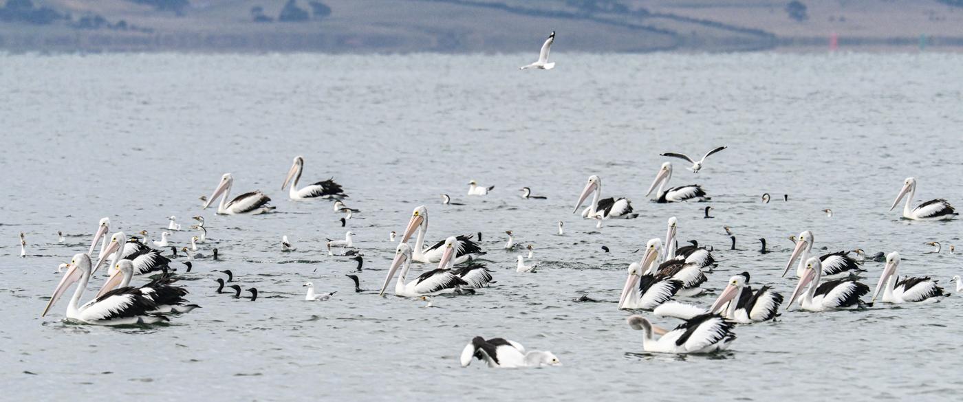 Australian Pelican, Great Pied Cormorant, Little Black Cormorant, Silver Gull (Image ID 45145)