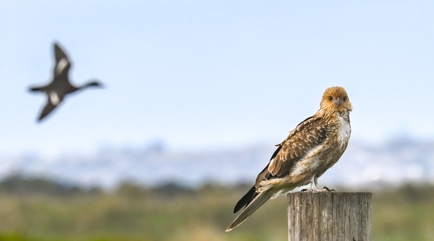Whistling Kite (Image ID 45539)