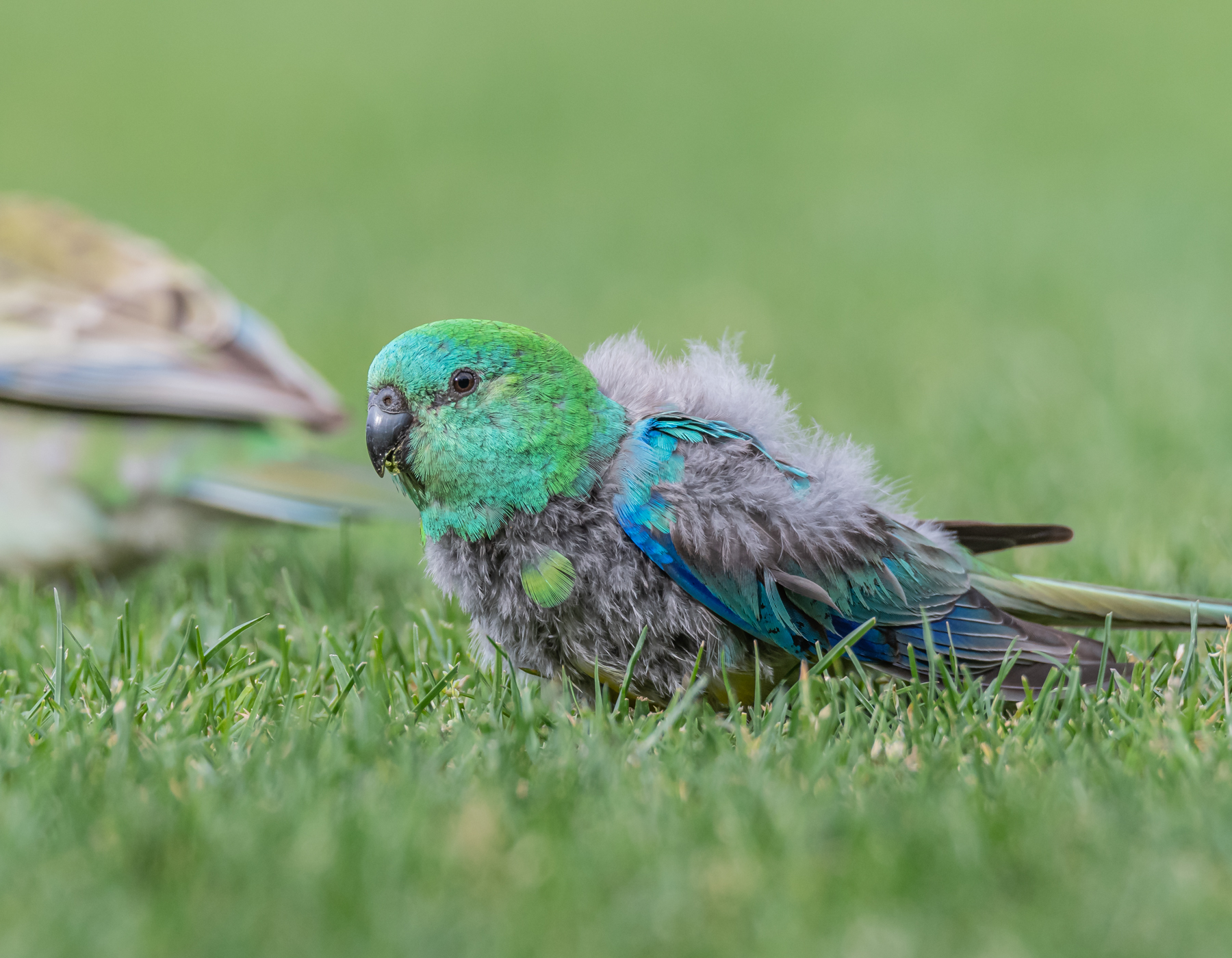 Red-rumped Parrot (Image ID 45164)