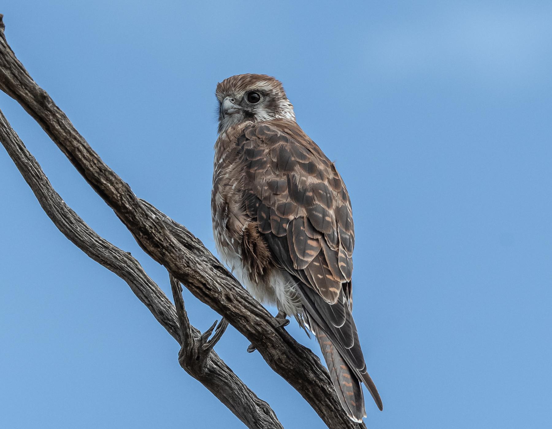Brown Falcon (Image ID 45272)