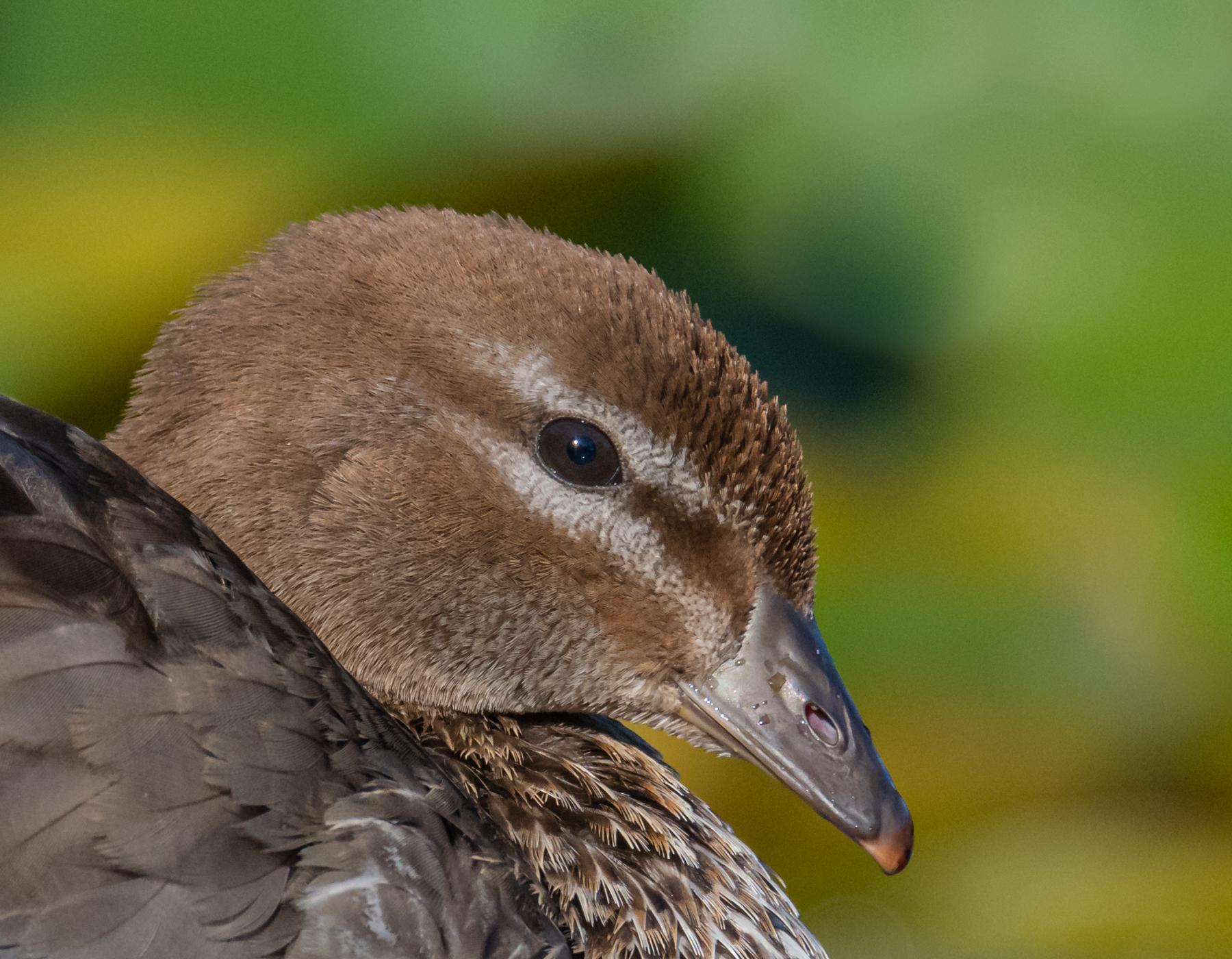 Australian Wood Duck (Image ID 45093)