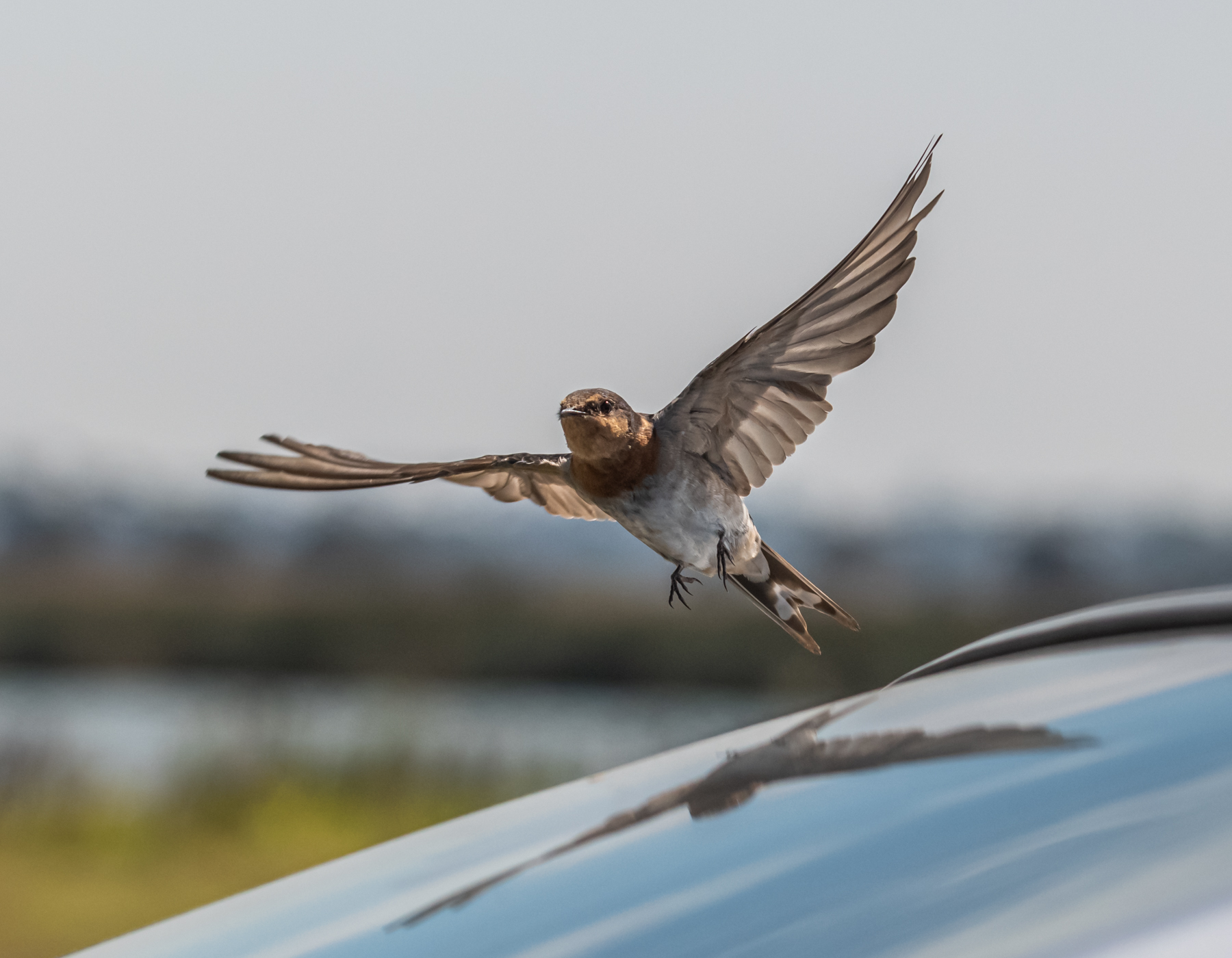 Welcome Swallow (Image ID 45294)