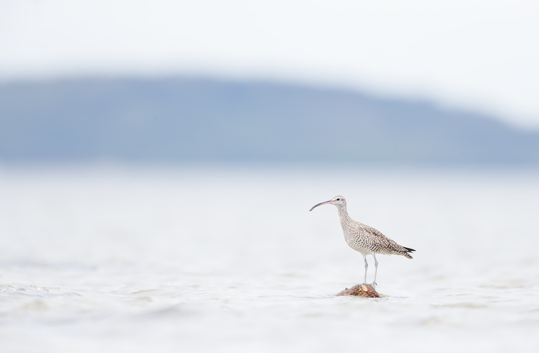 Whimbrel (Image ID 45307)