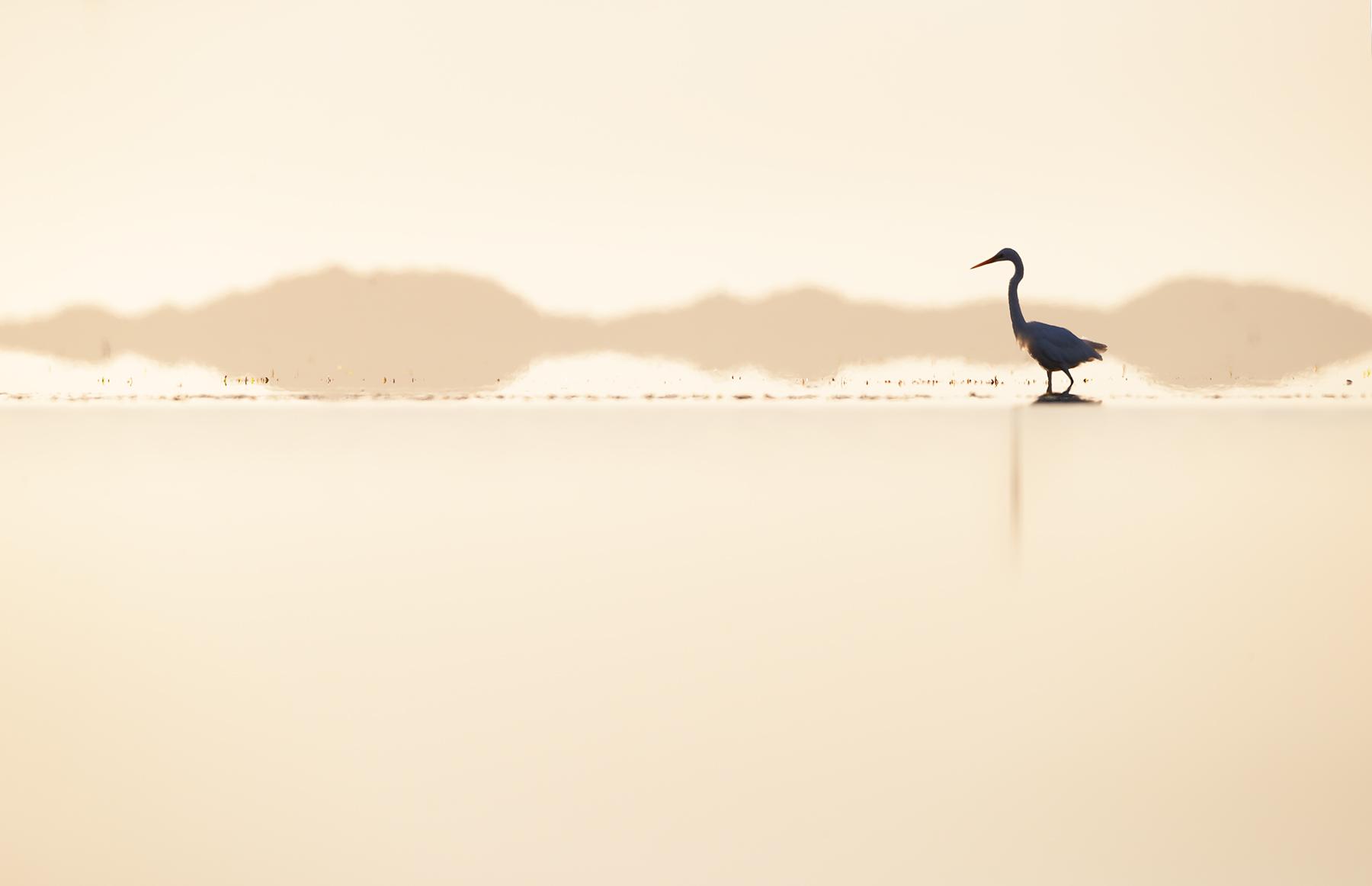 Great Egret (Image ID 45456)