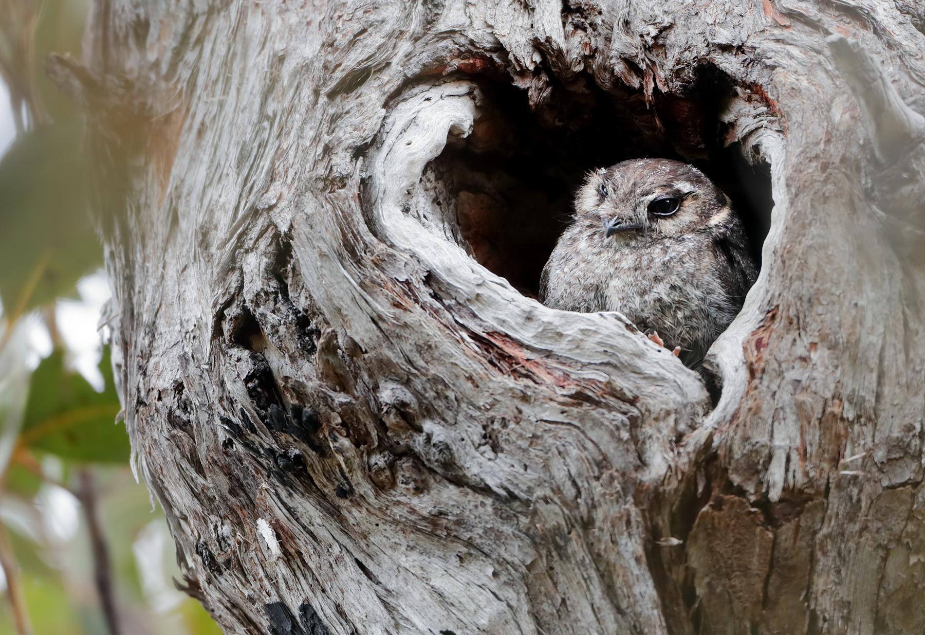 Australian Owlet-nightjar (Image ID 45306)