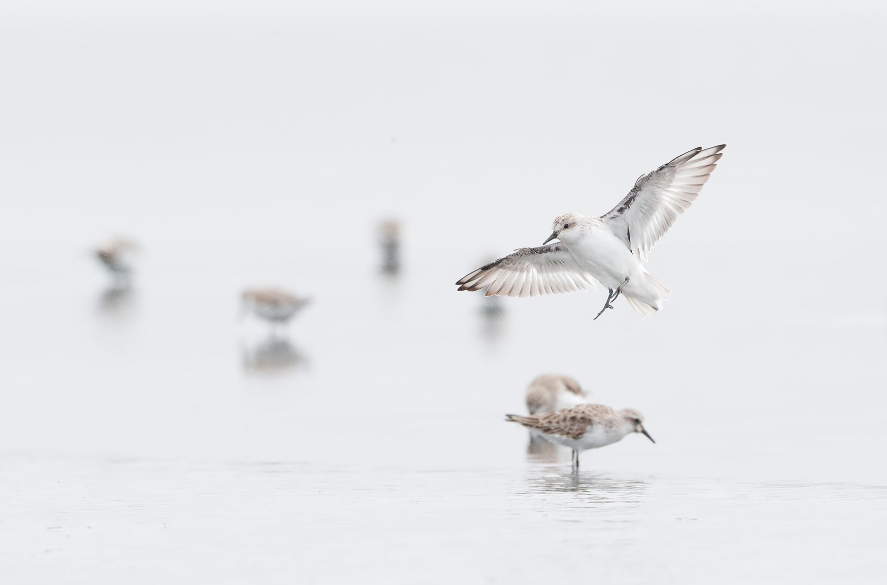 Red-necked Stint (Image ID 45316)
