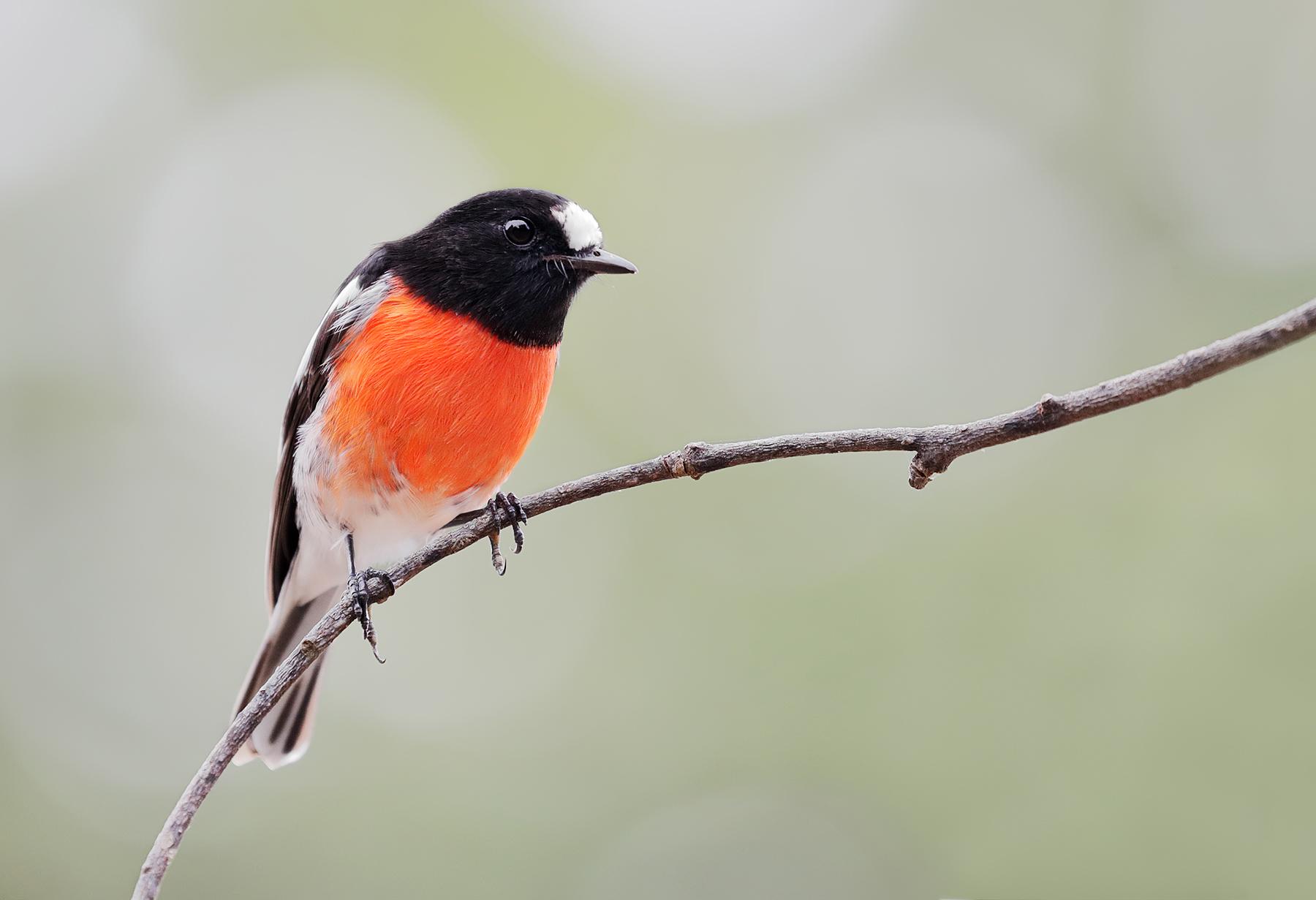Scarlet Robin (Image ID 45113)