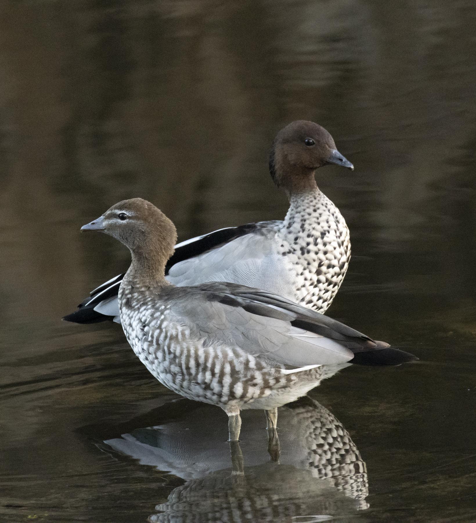 Australian Wood Duck (Image ID 45350)