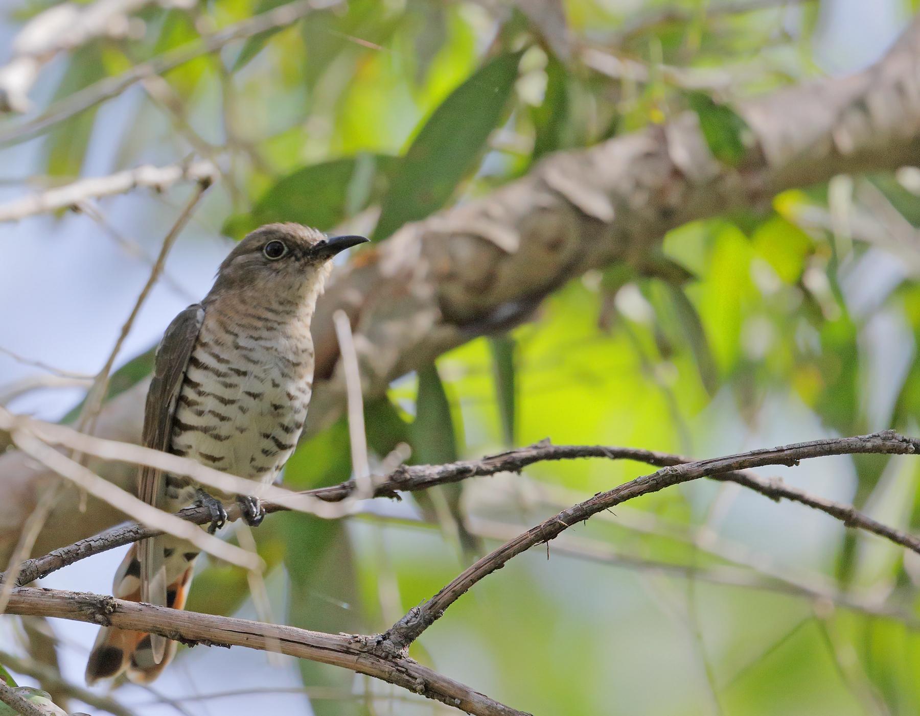 Little Bronze-Cuckoo (Image ID 45176)