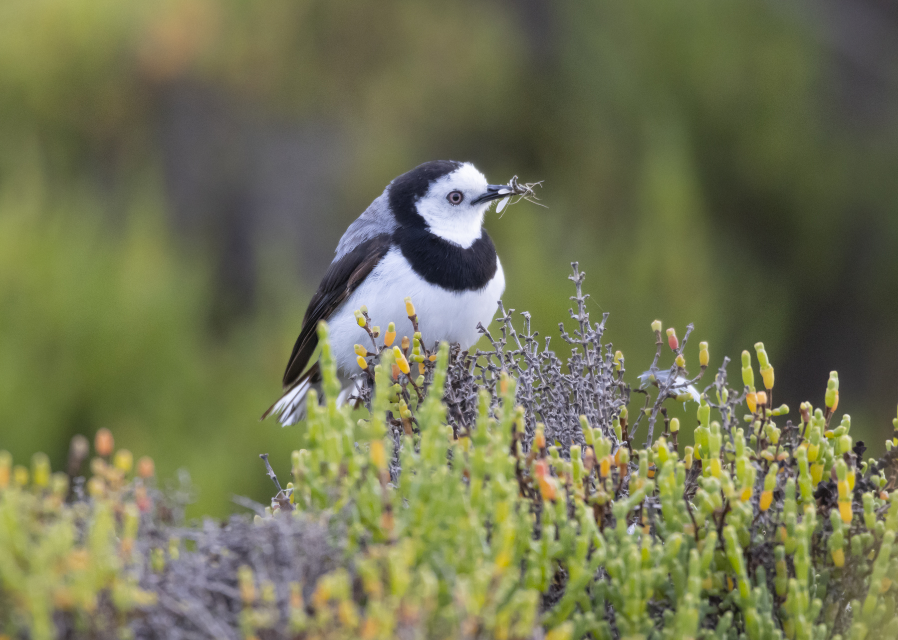 White-fronted Chat (Image ID 45331)