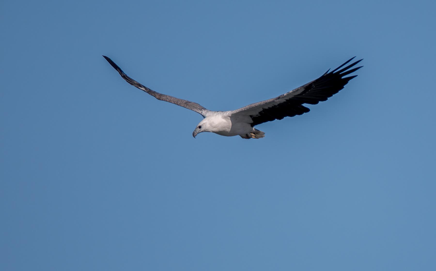 White-bellied Sea-Eagle (Image ID 45521)
