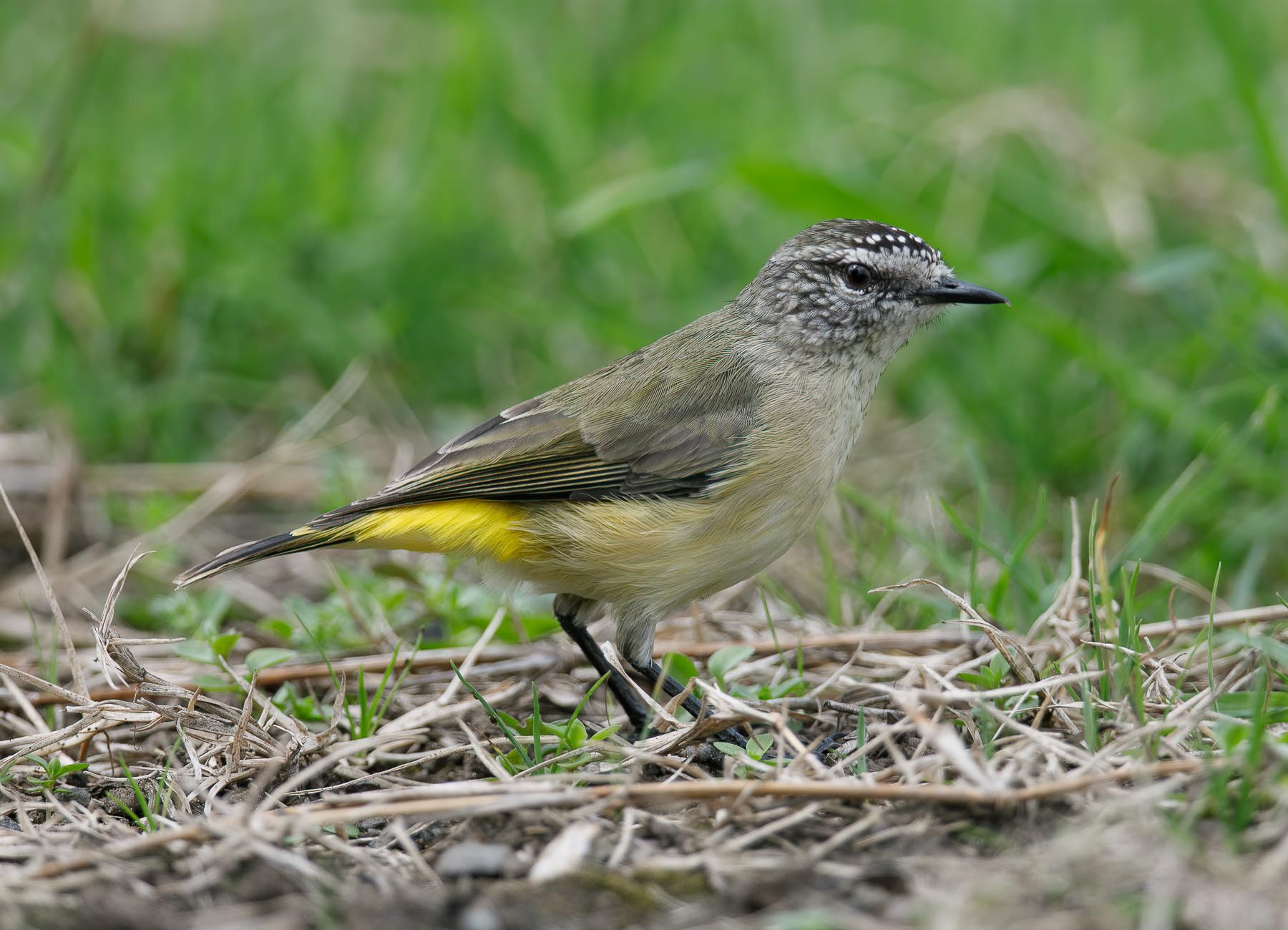 Yellow-rumped Thornbill (Image ID 45340)