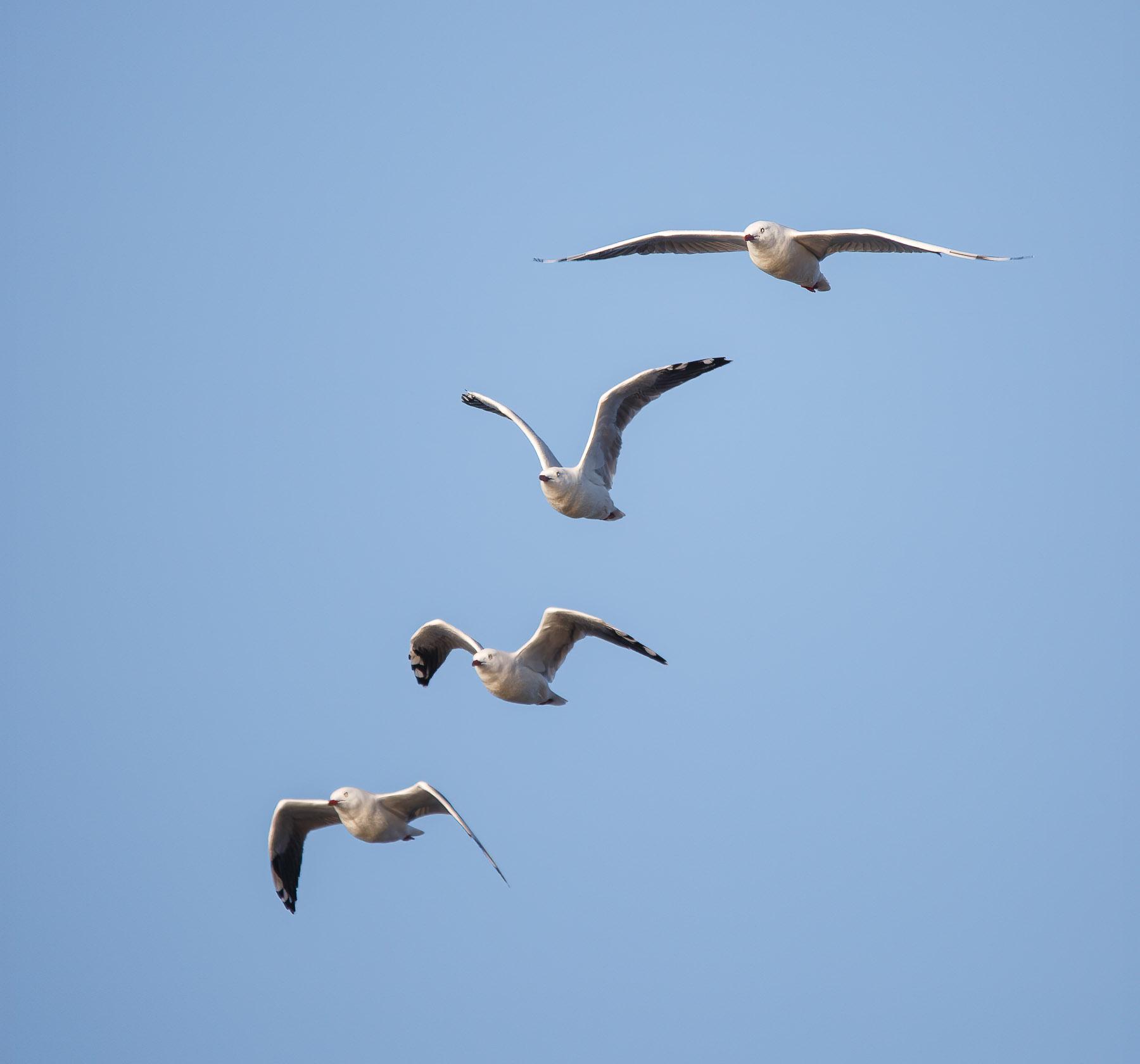 Silver Gull (Image ID 45523)