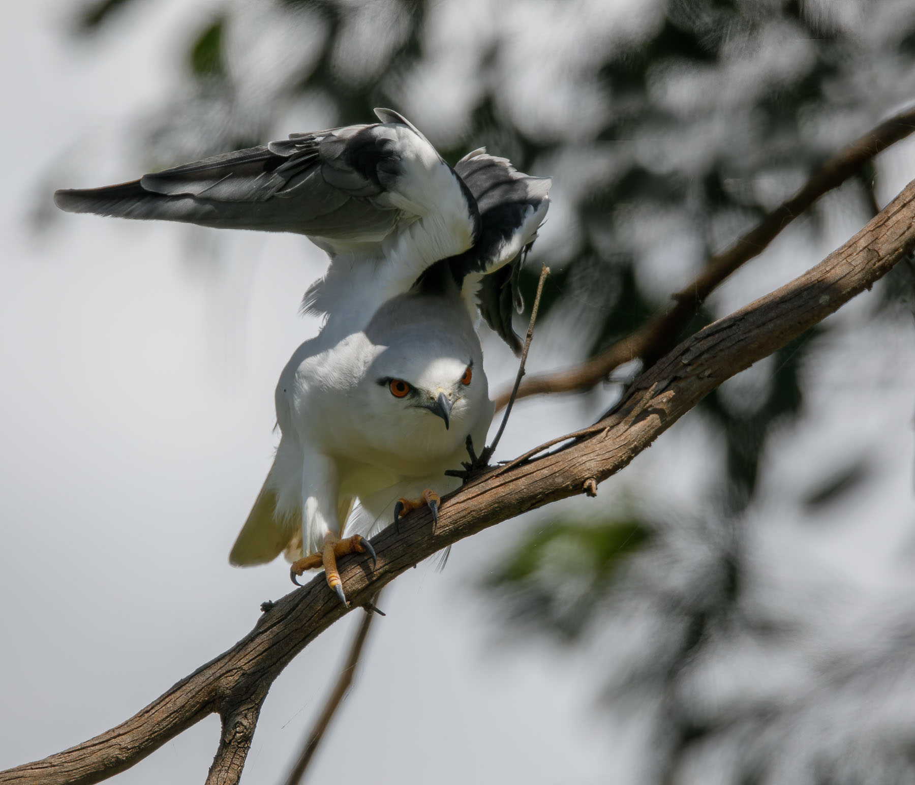 Black-shouldered Kite (Image ID 45520)