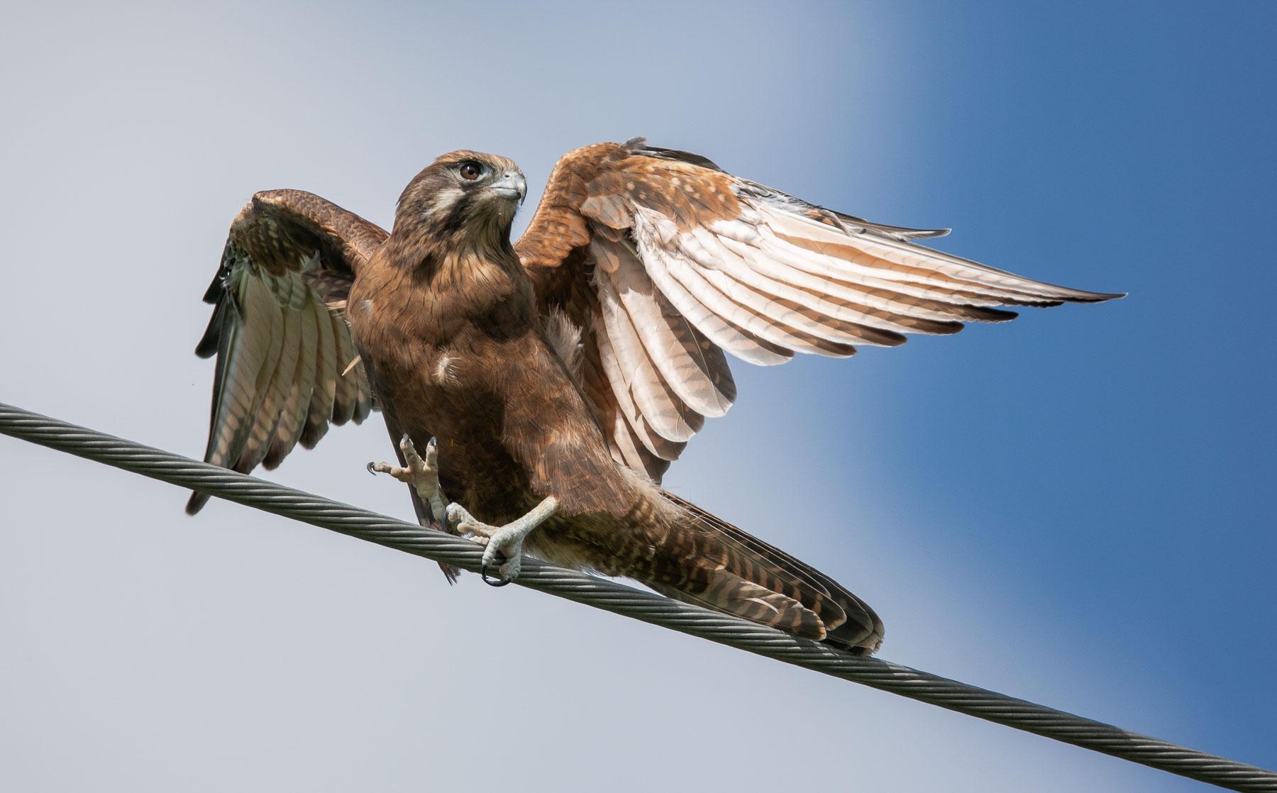Brown Falcon (Image ID 45204)