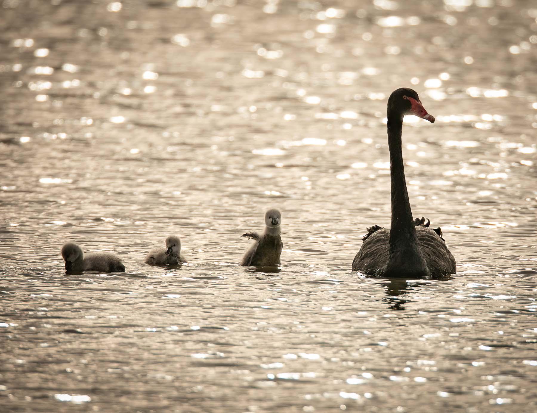 Black Swan (Image ID 45278)