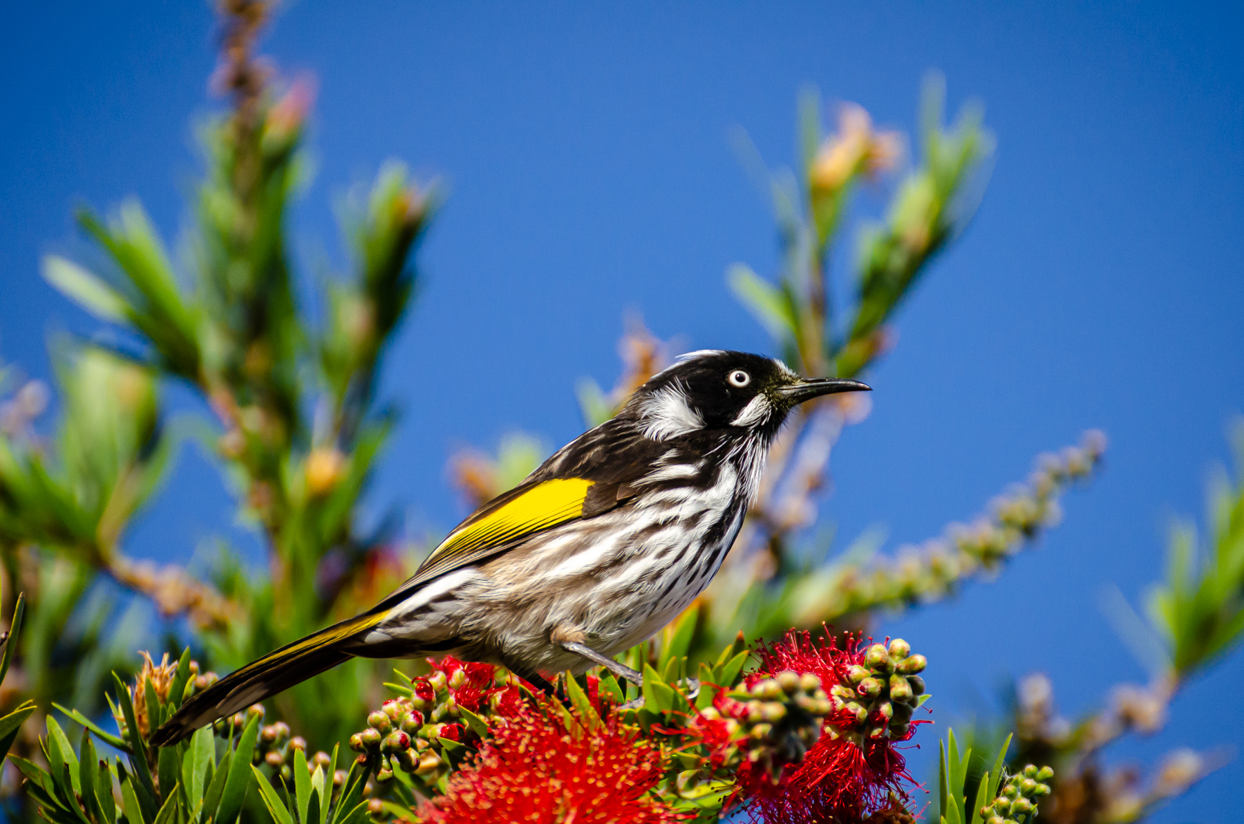 New Holland Honeyeater (Image ID 45341)