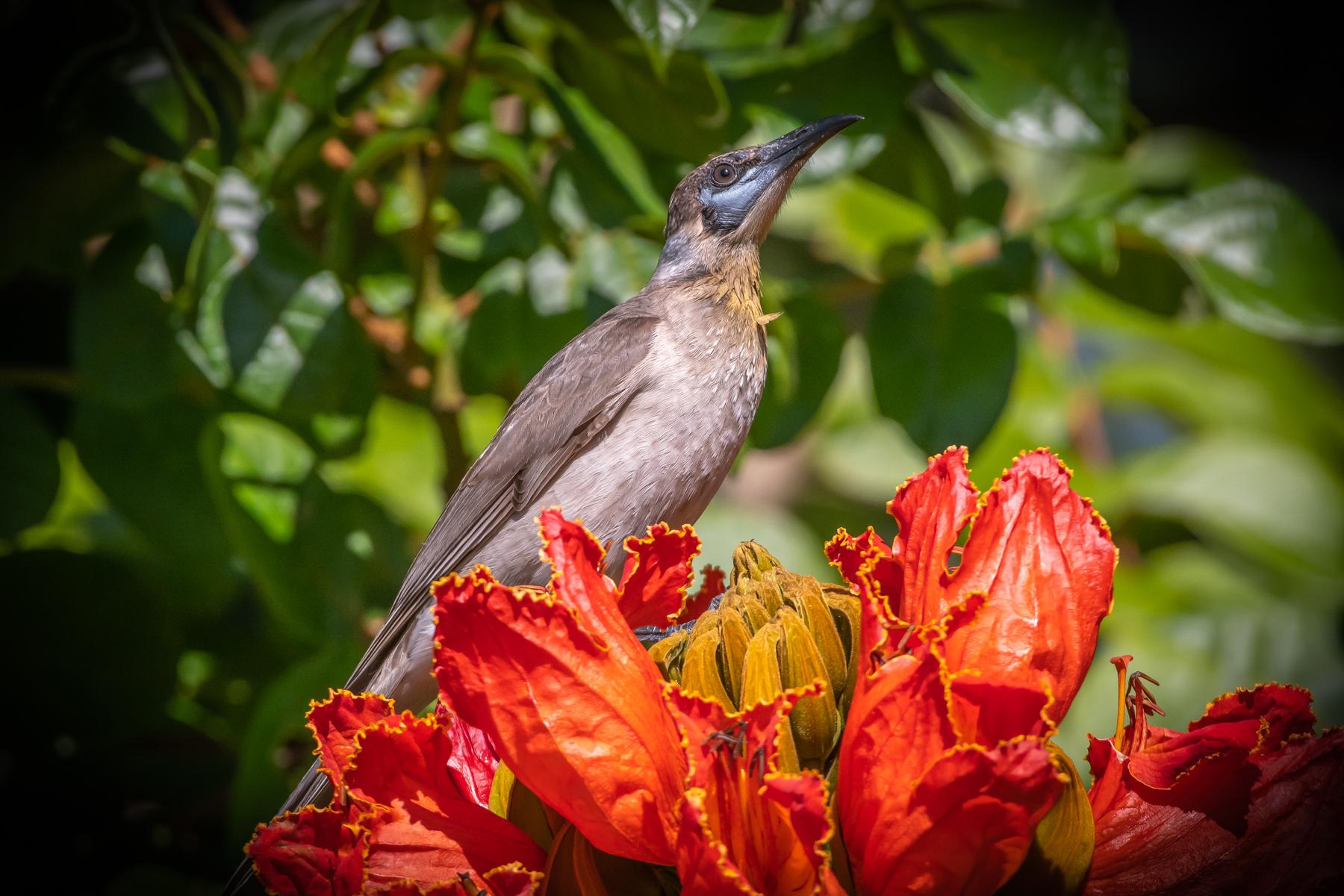 Little Friarbird (Image ID 45399)