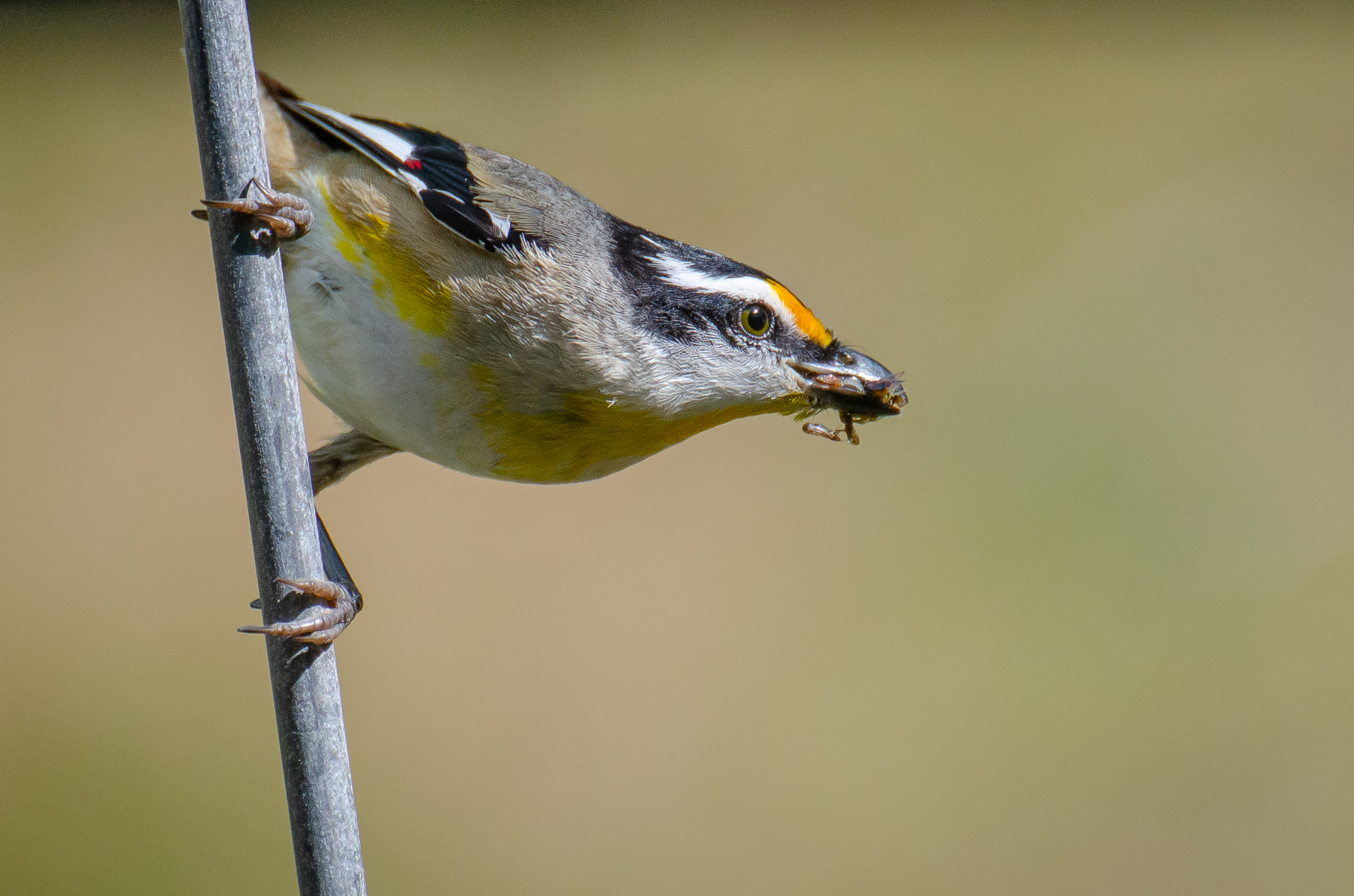 Striated Pardalote (Image ID 45384)