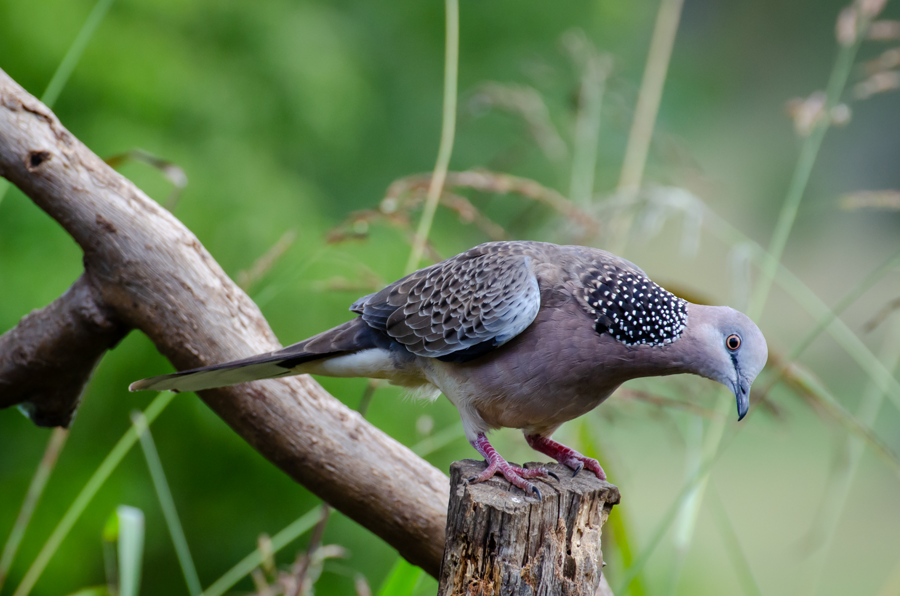 Spotted Dove (Image ID 45364)