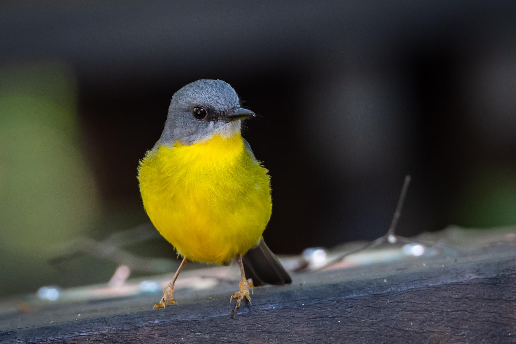 Eastern Yellow Robin (Image ID 45422)