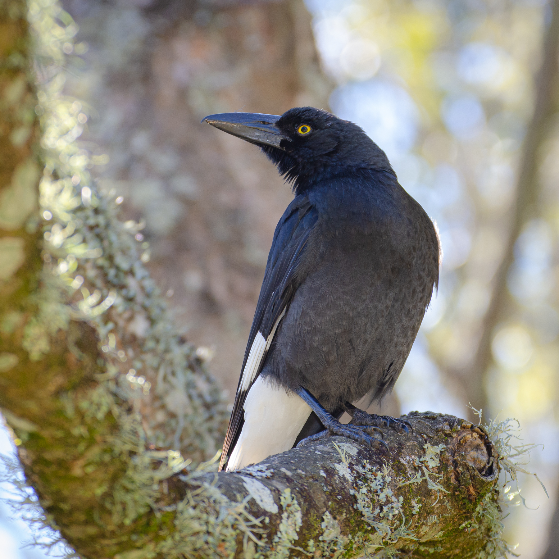 Pied Currawong (Image ID 45498)