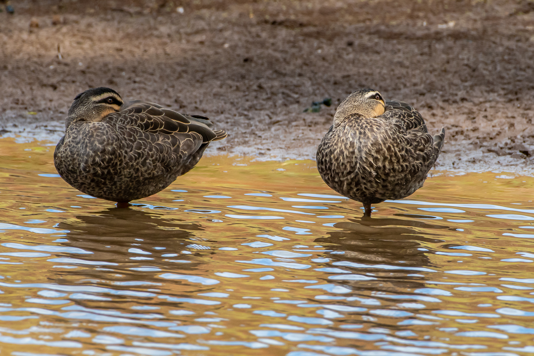Pacific Black Duck (Image ID 45296)