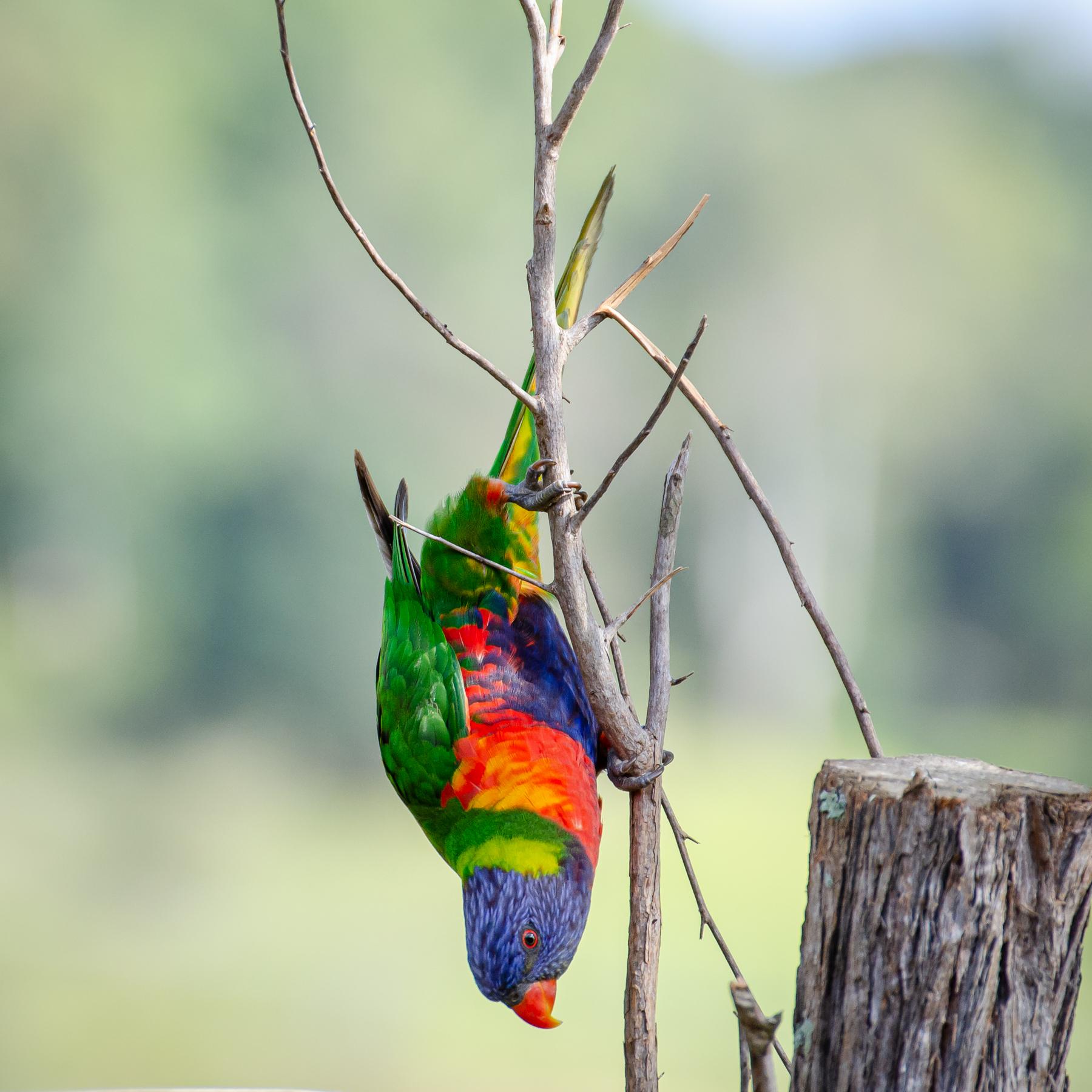 Rainbow Lorikeet (Image ID 45499)