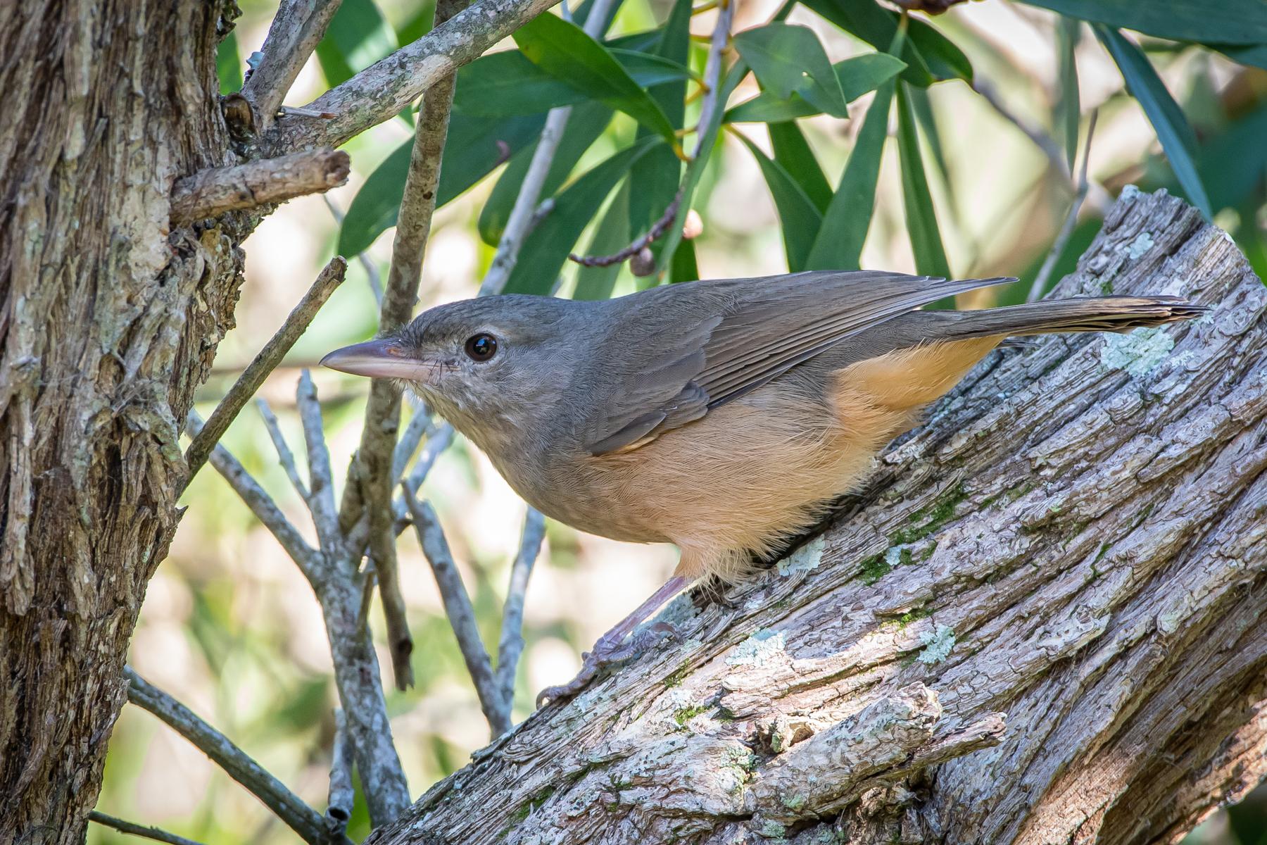 Little Shrike-thrush (Image ID 45507)