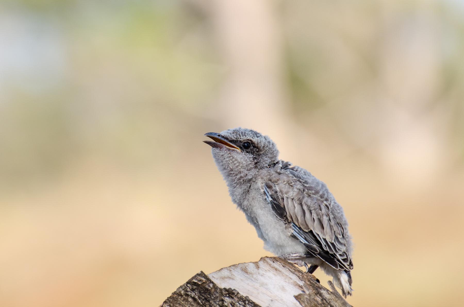 Black-faced Cuckoo-shrike (Image ID 45373)