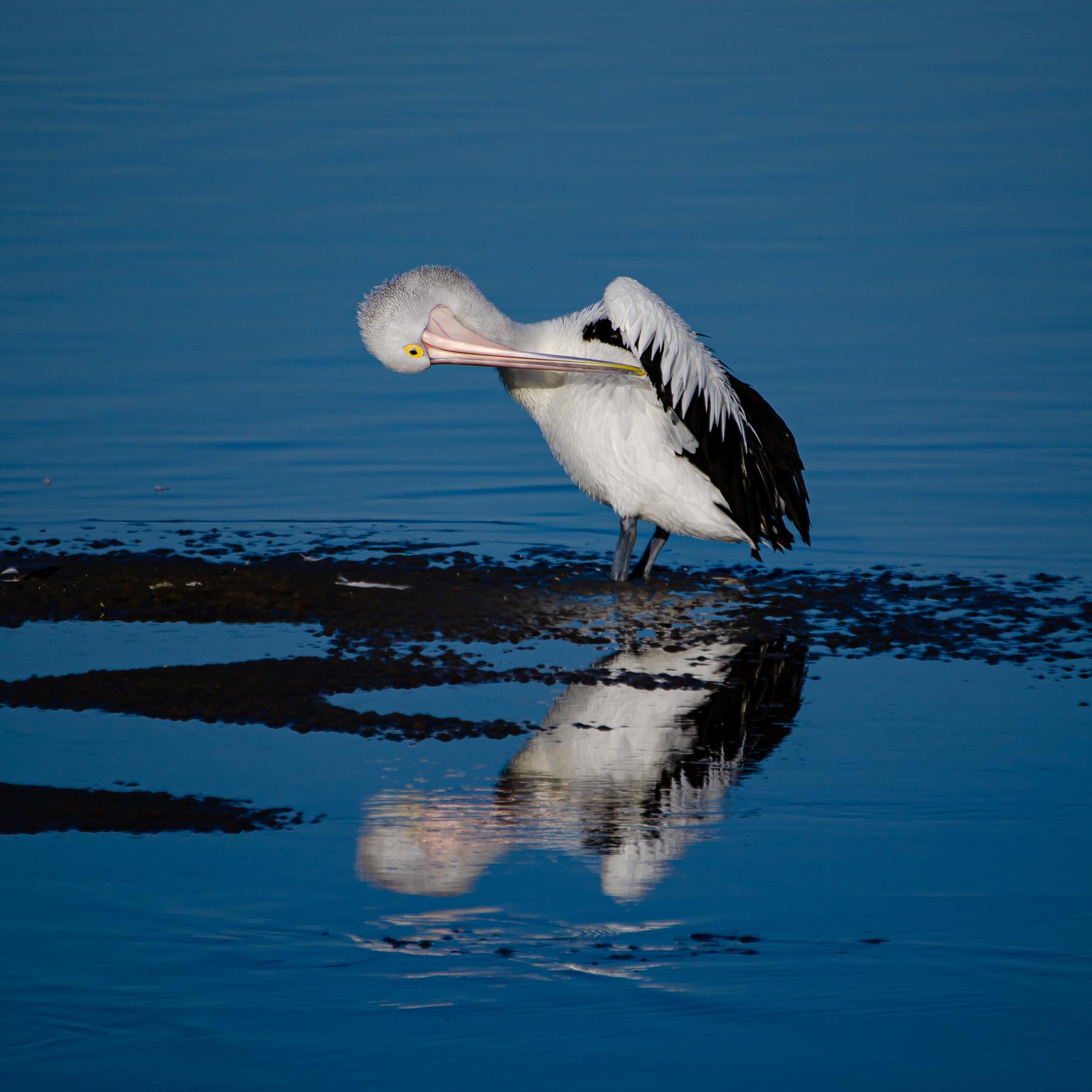 Australian Pelican (Image ID 45342)