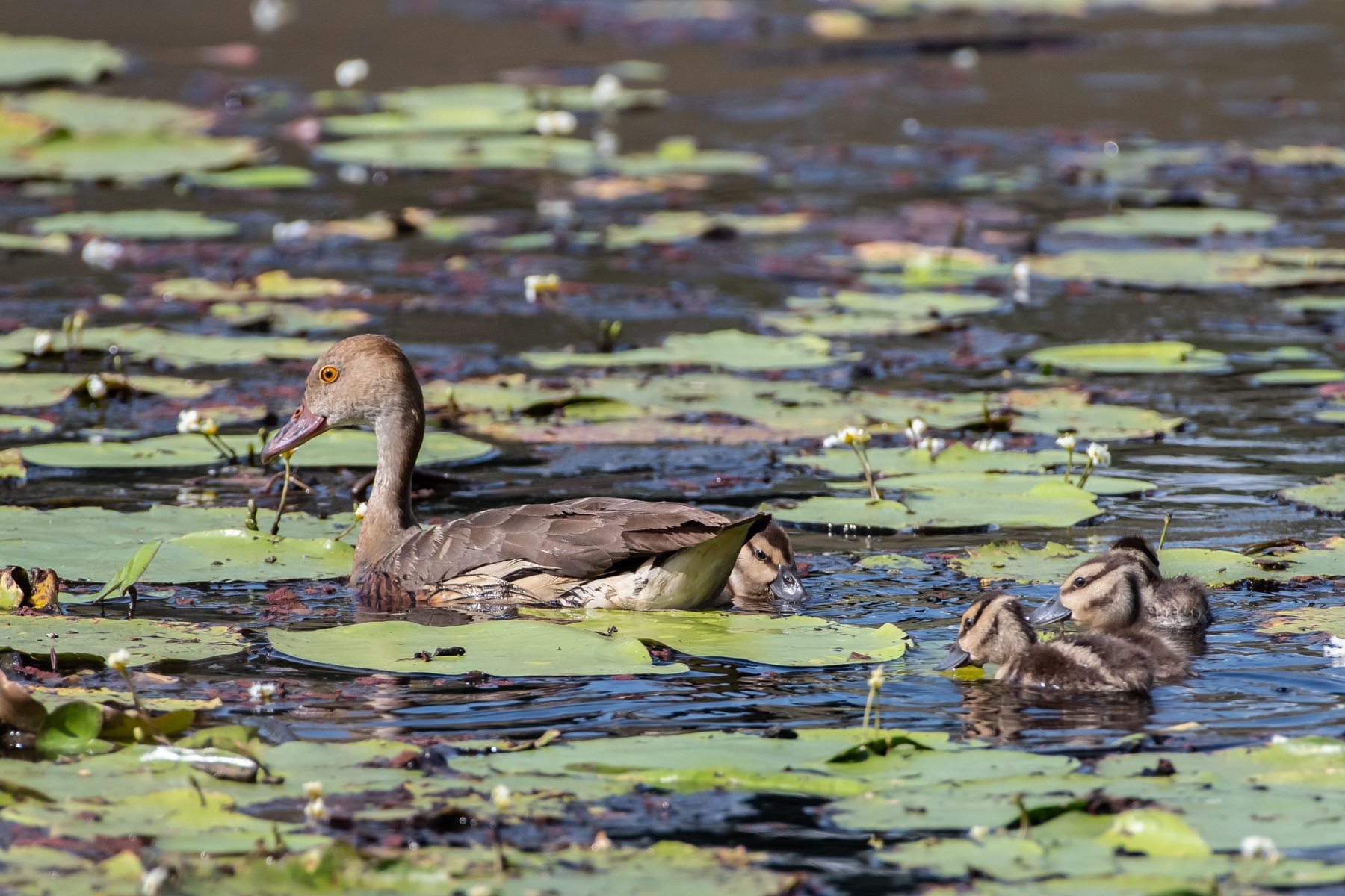 Plumed Whistling-Duck (Image ID 45276)