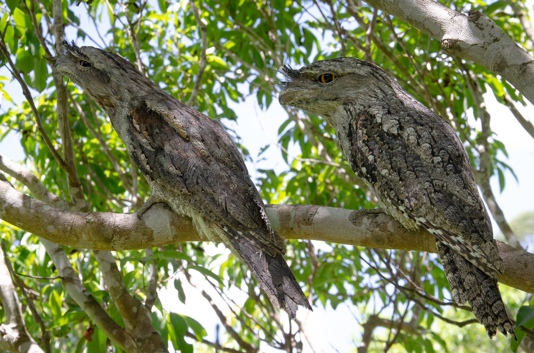 Tawny Frogmouth (Image ID 45477)