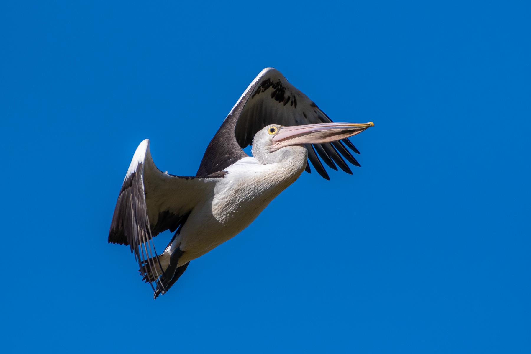 Australian Pelican (Image ID 45158)
